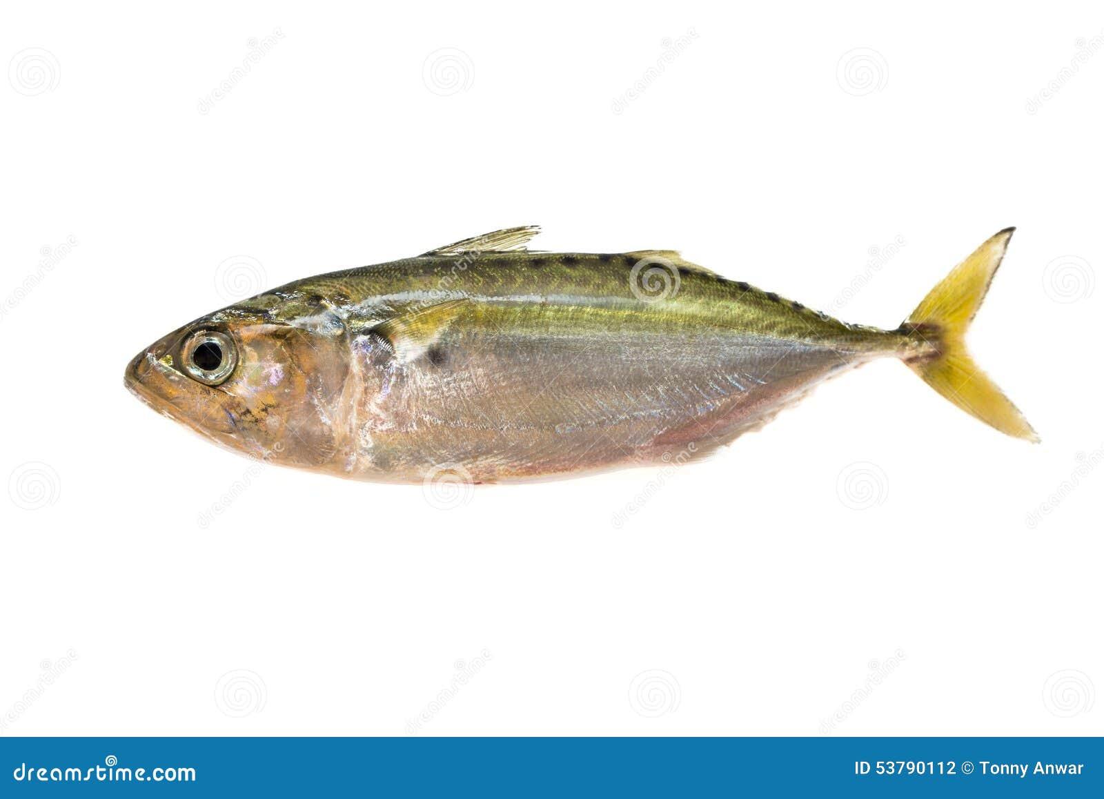 Makrela indyjska