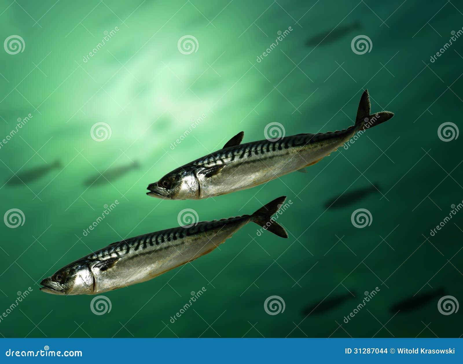 Makreli ryba
