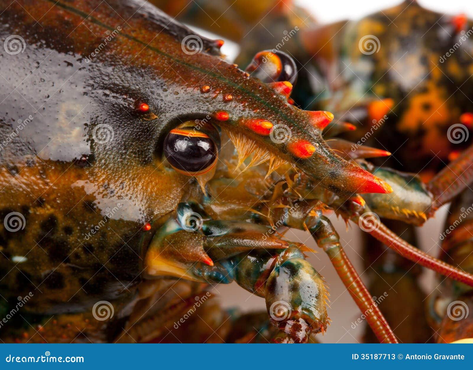 Makro- żywy homar