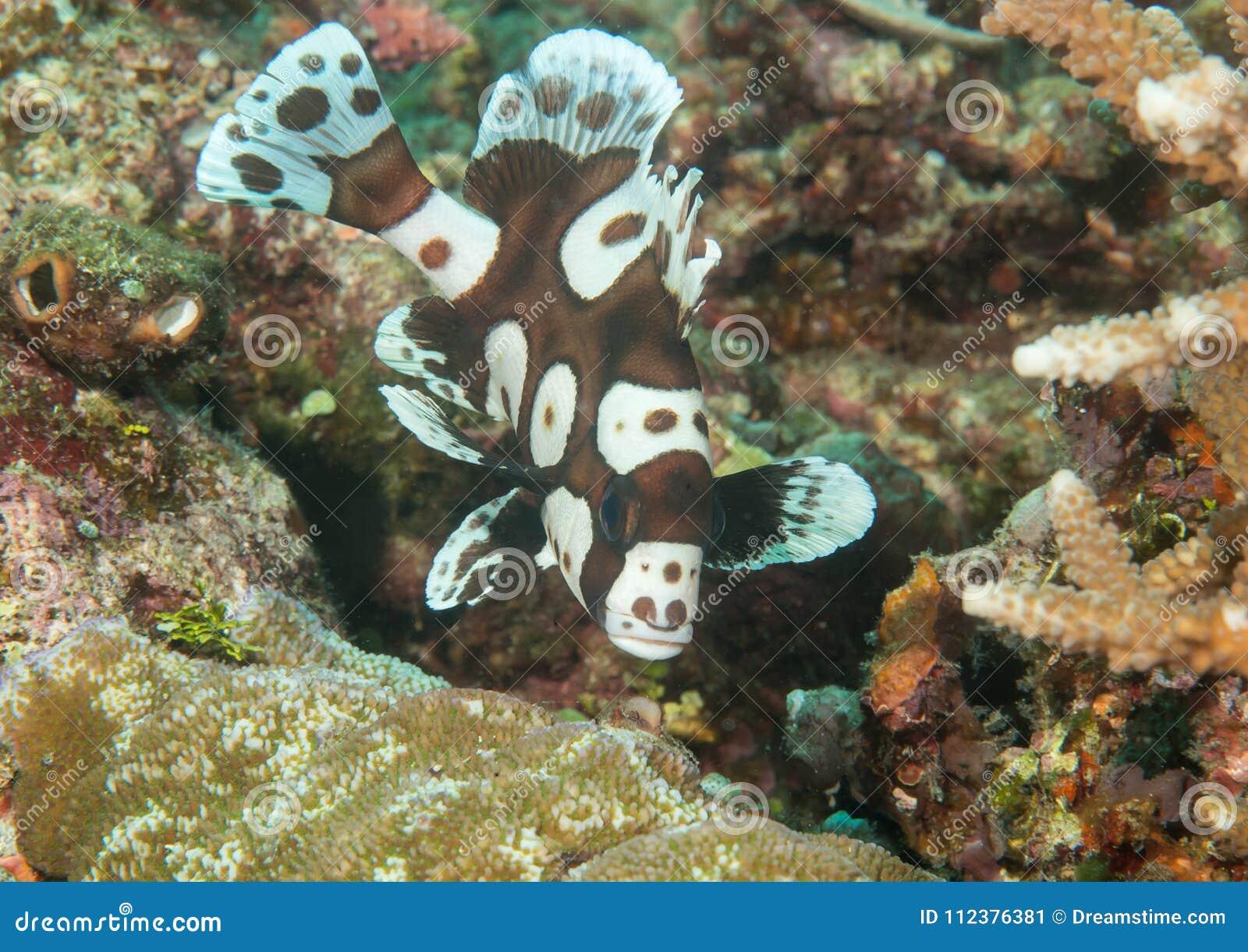 Makro av en barnslig simning för harlekinsweetlips över koraller av Bali