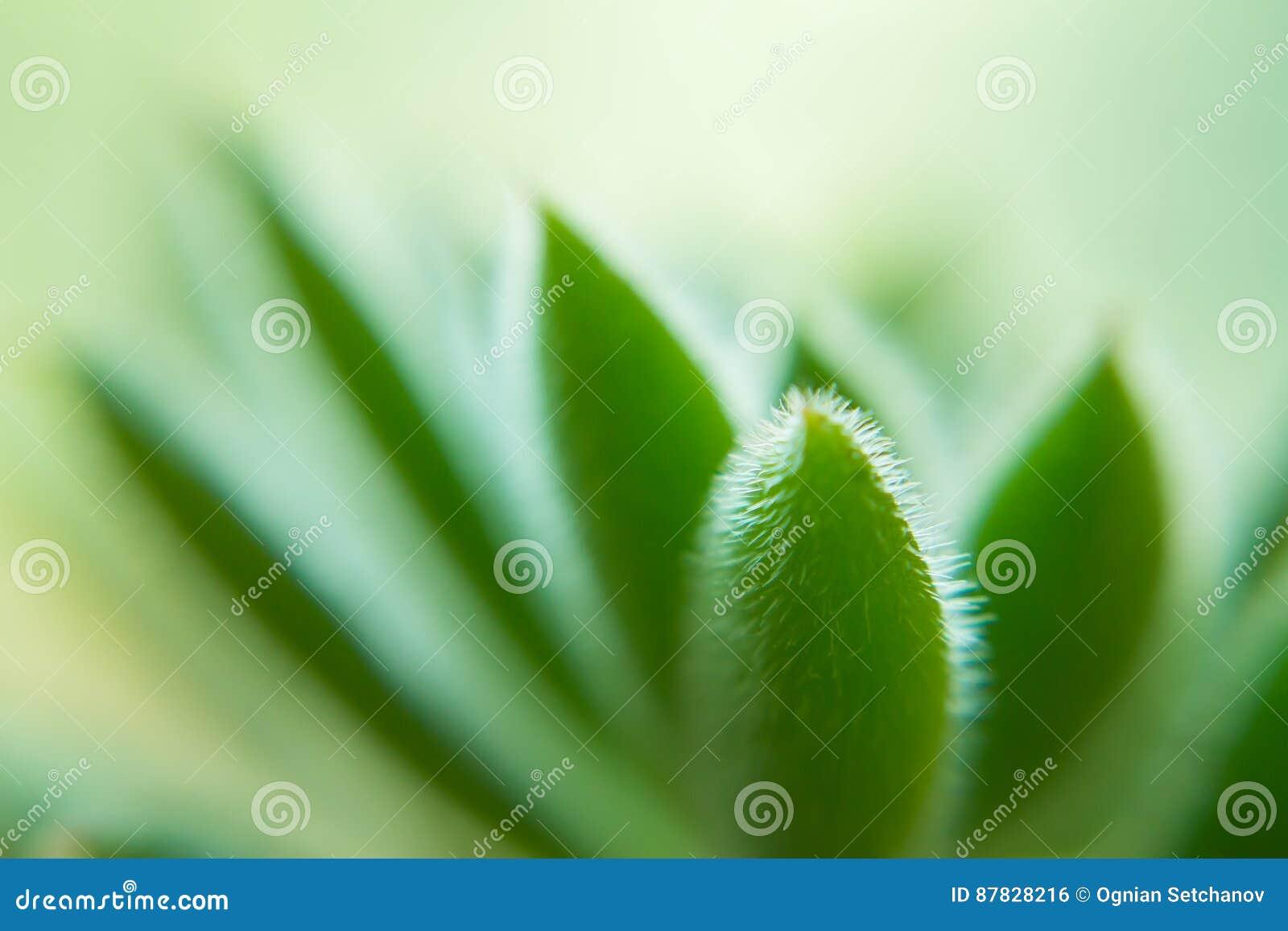 Makro av en suckulent växt