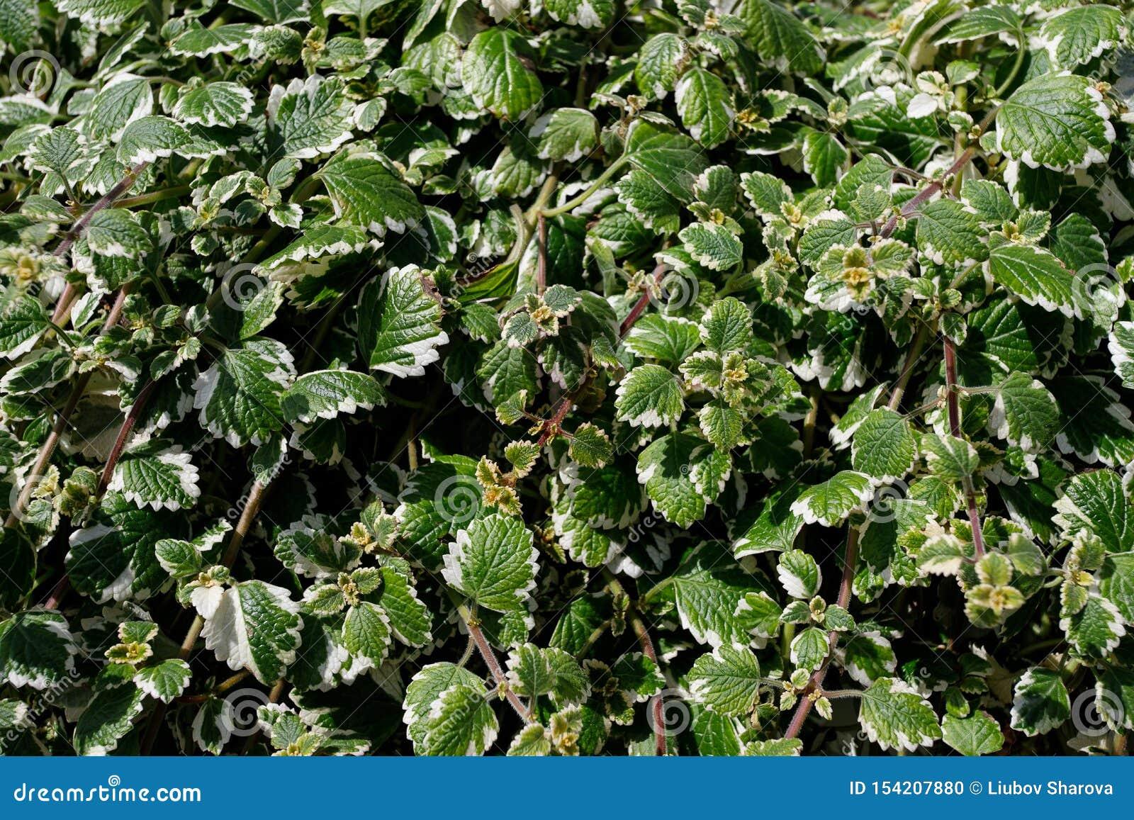 Makro av härliga frodiga gröna sidor