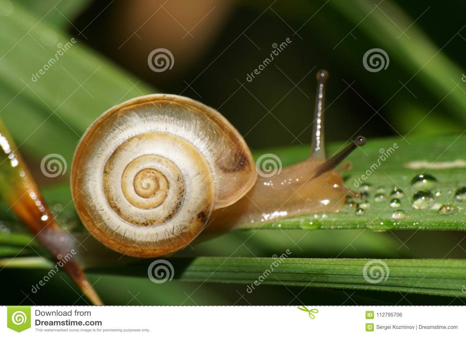 Makro- caucasian ogrodowy ślimaczek z skorupą na zielonym liściu