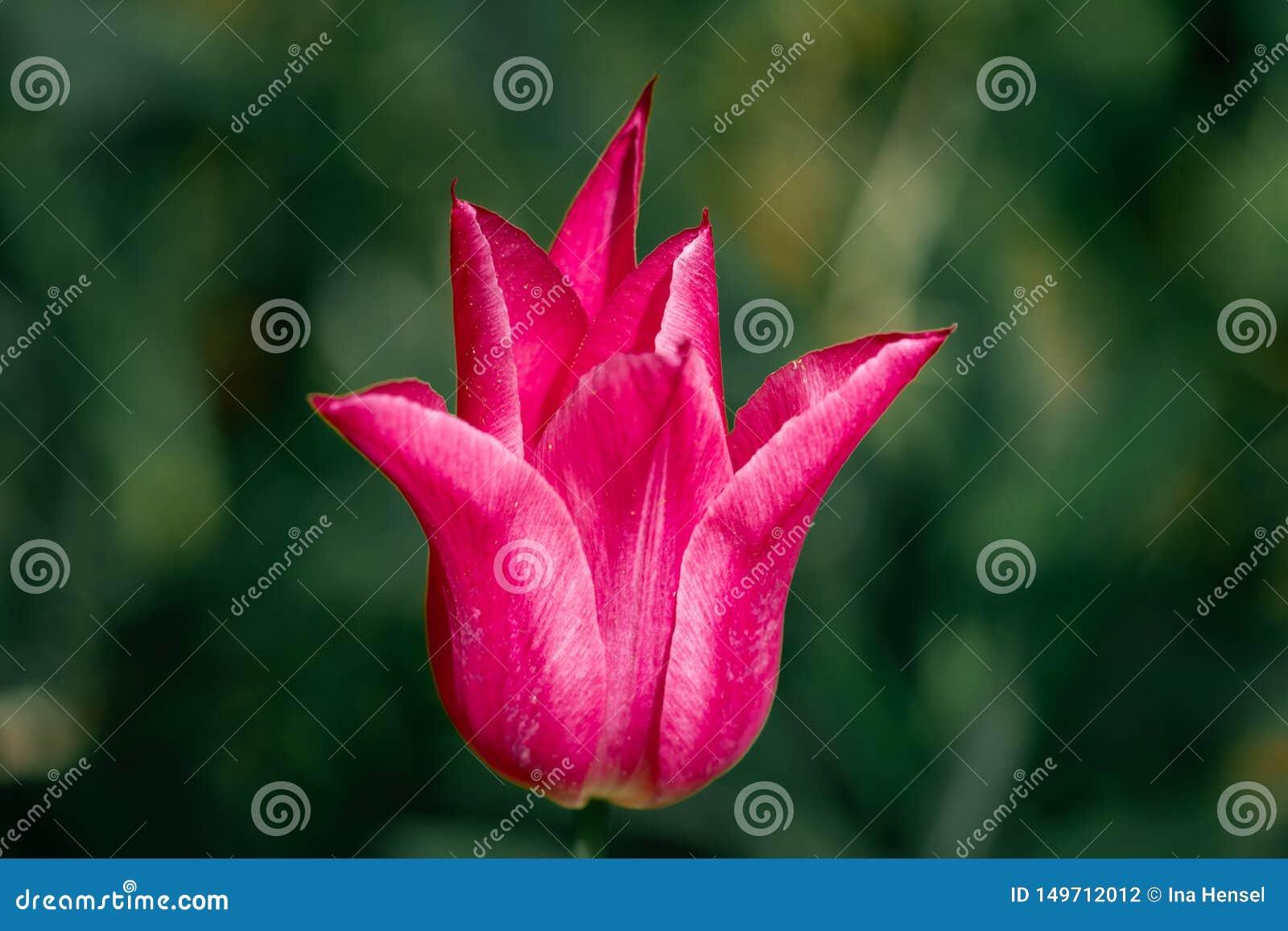 Makro- czerwony tulipan