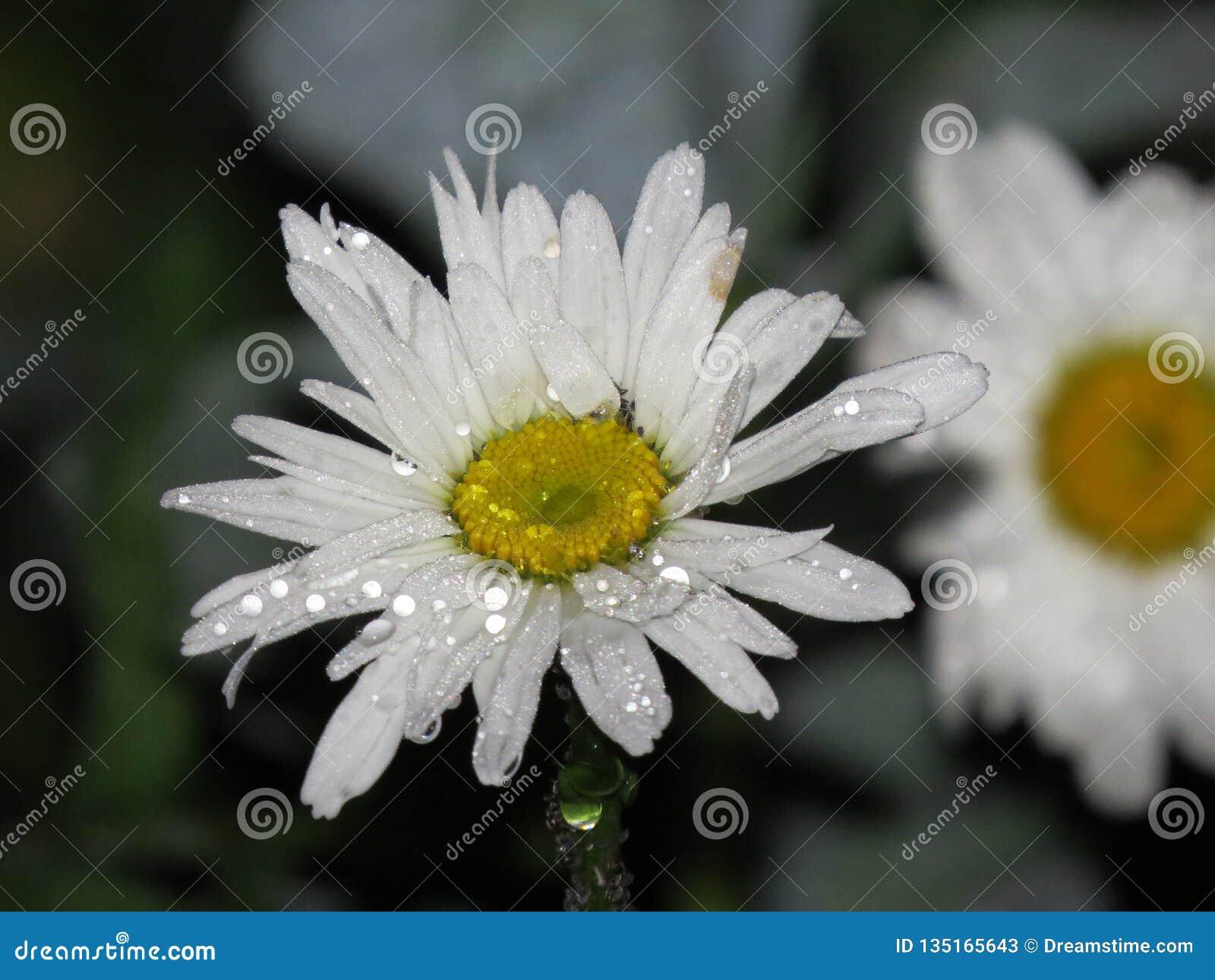 Makro för blommatusenskönanärbild med små droppar av daggdroppen för regnvatten