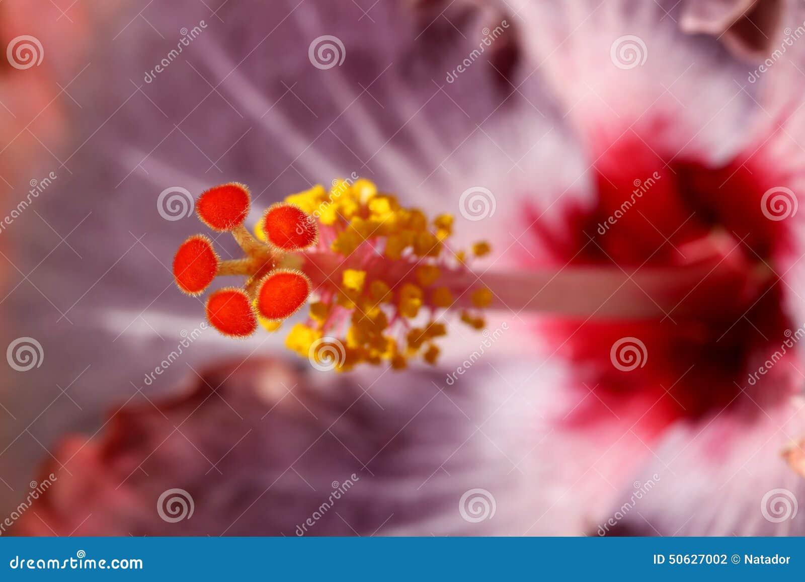 Makro för hibiskusblommamortelstöt
