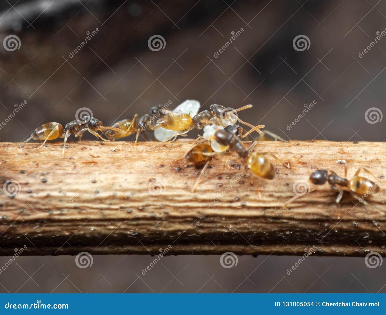 Makro- fotografia grupa Malutkie mrówki Niesie Pupae i bieg na kiju, pracy zespołowej pojęcie