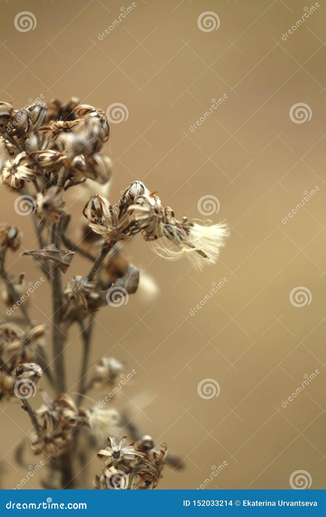 Makro- fotografia sucha kwiat trawa na zamazanym brązie