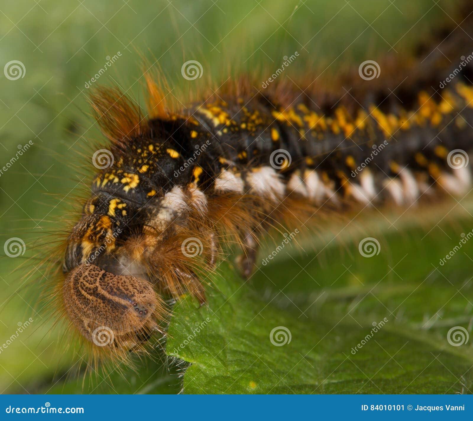 Makro- gąsienica: Euthrix potatoria