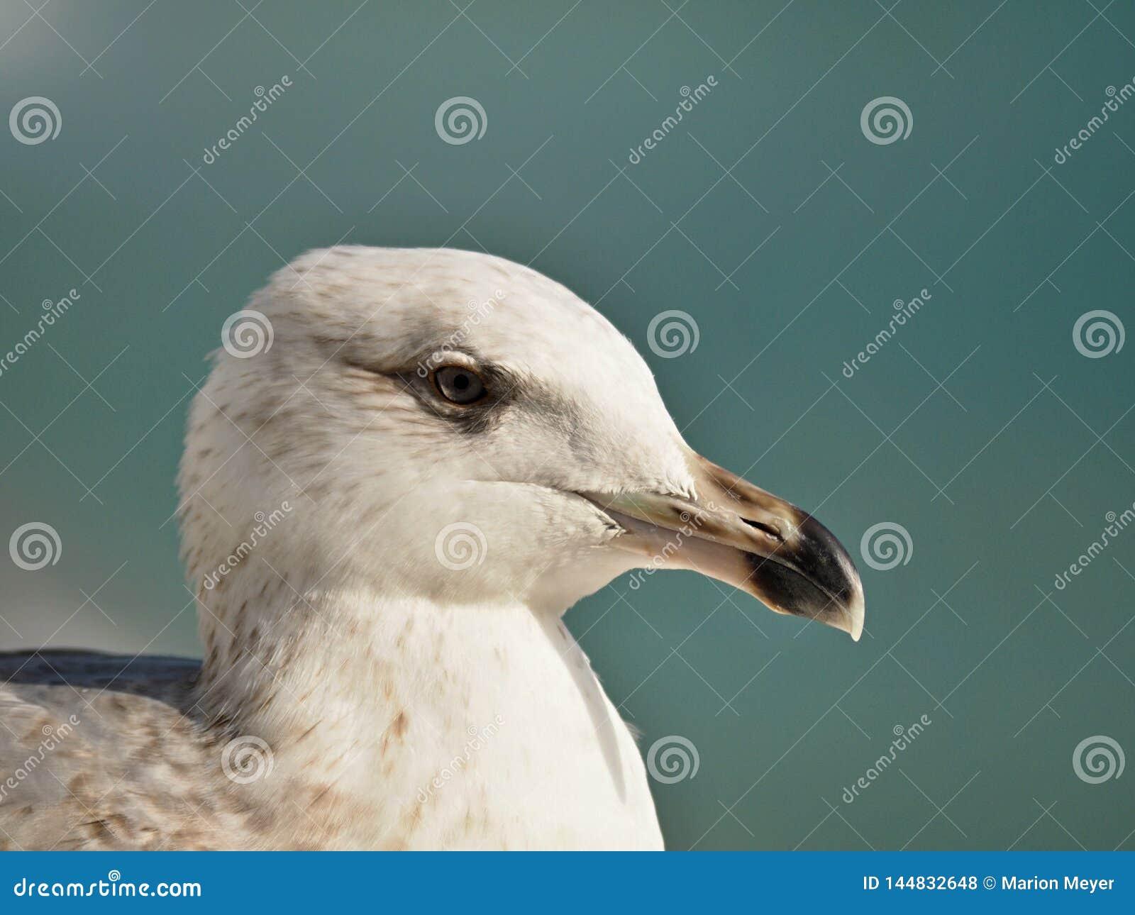 Makro- głowa seagull