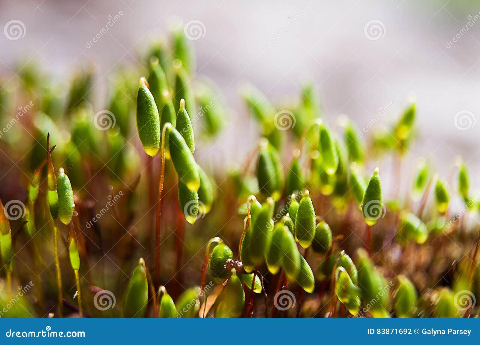 Makro grünes Moos