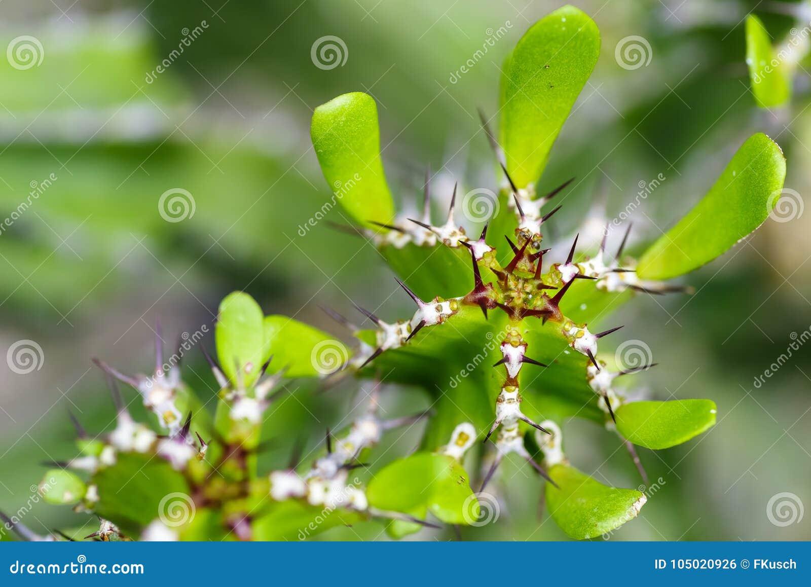 Makro- kandelabru kaktus, euforbii lactea, selekcyjna ostrość