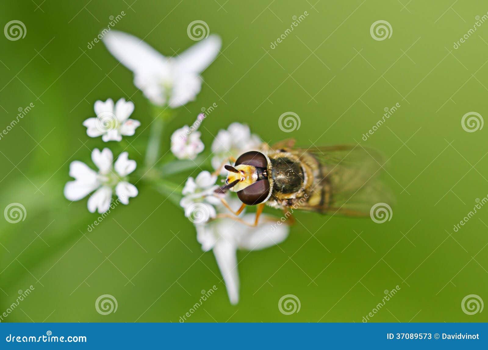 Download Makro- komarnica obraz stock. Obraz złożonej z insekt - 37089573