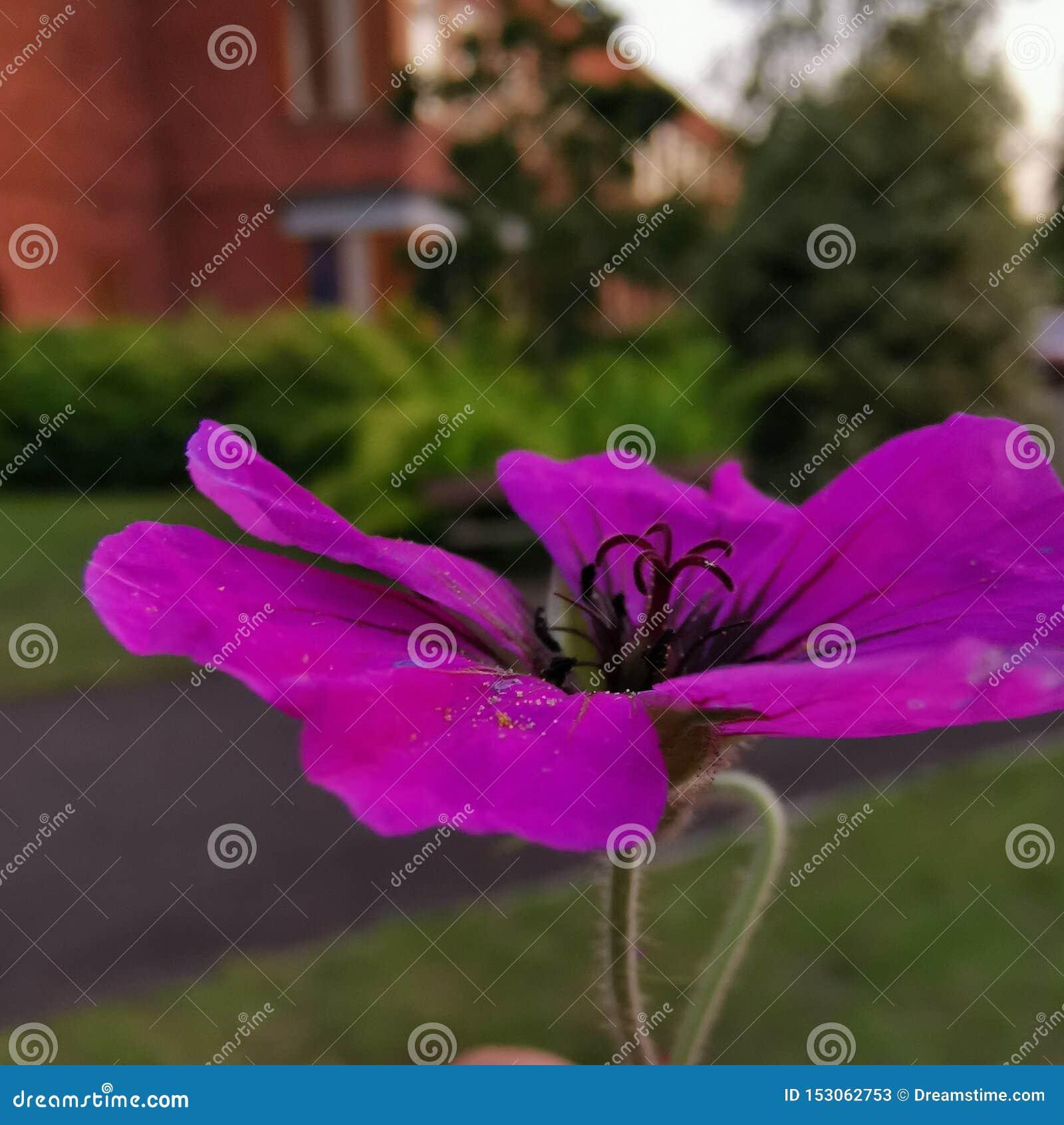 Makro på den purpurfärgade blomman med suddighetsbakgrund