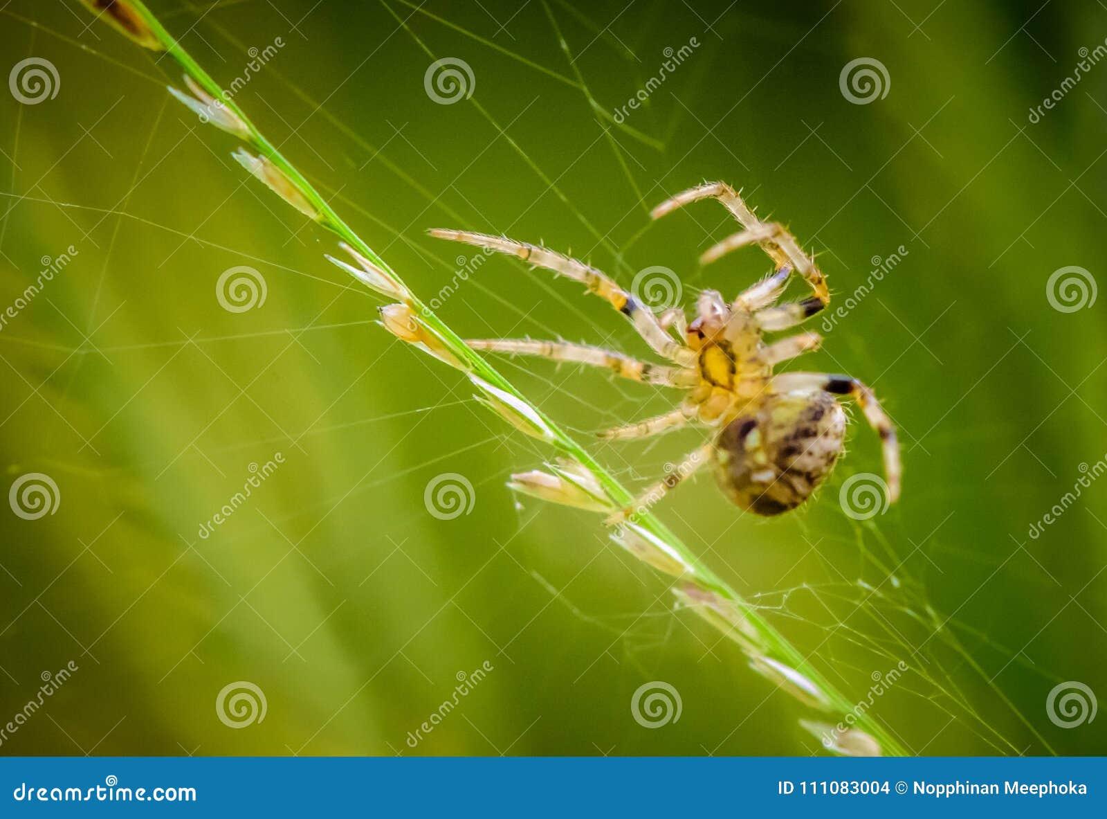 Makro- pająka portret, oklepa zdobycz na pajęczynie
