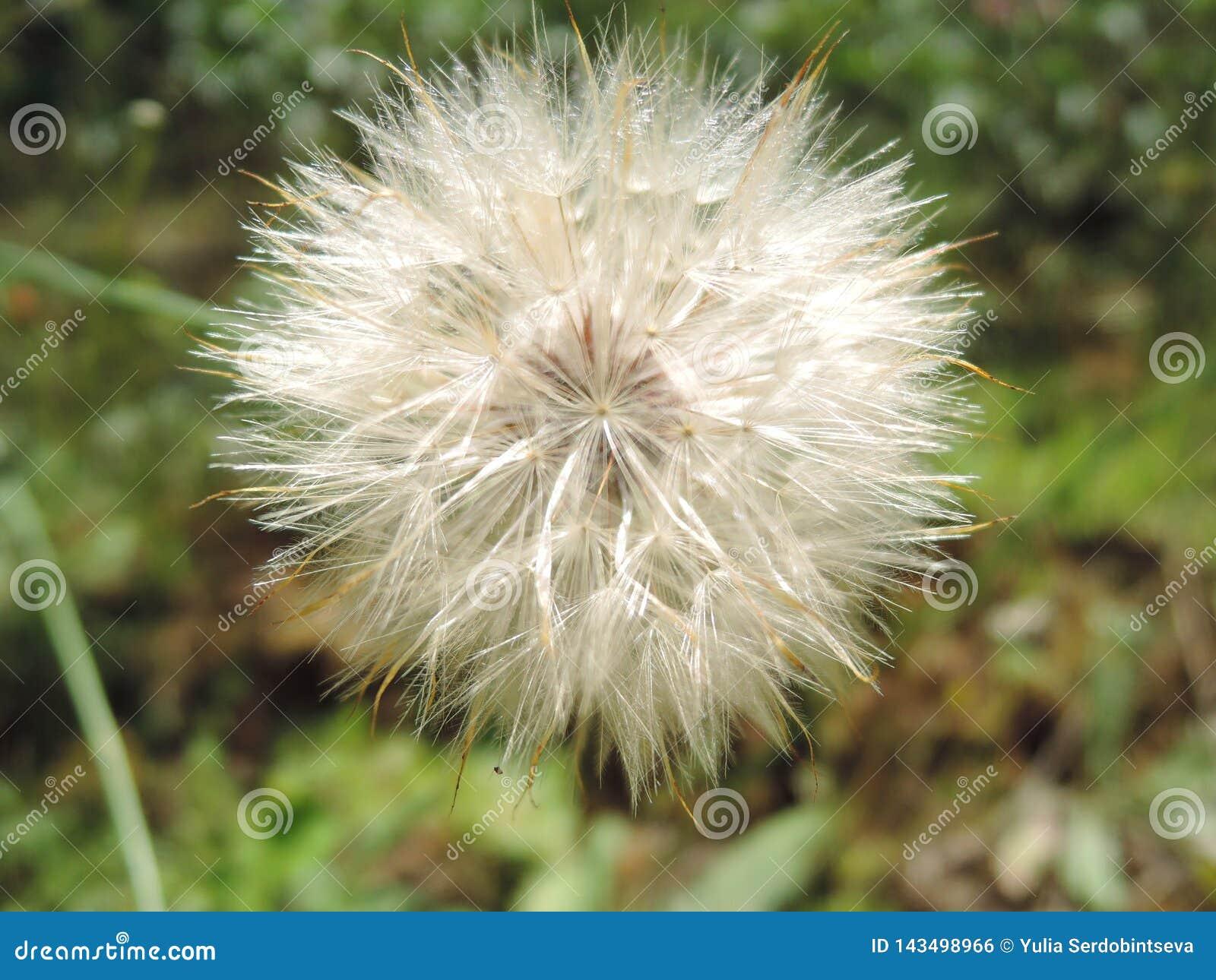 Makro- puszysty blowball kwiat Broda jak duża biała dandelion ziarna głowa Lata ziele