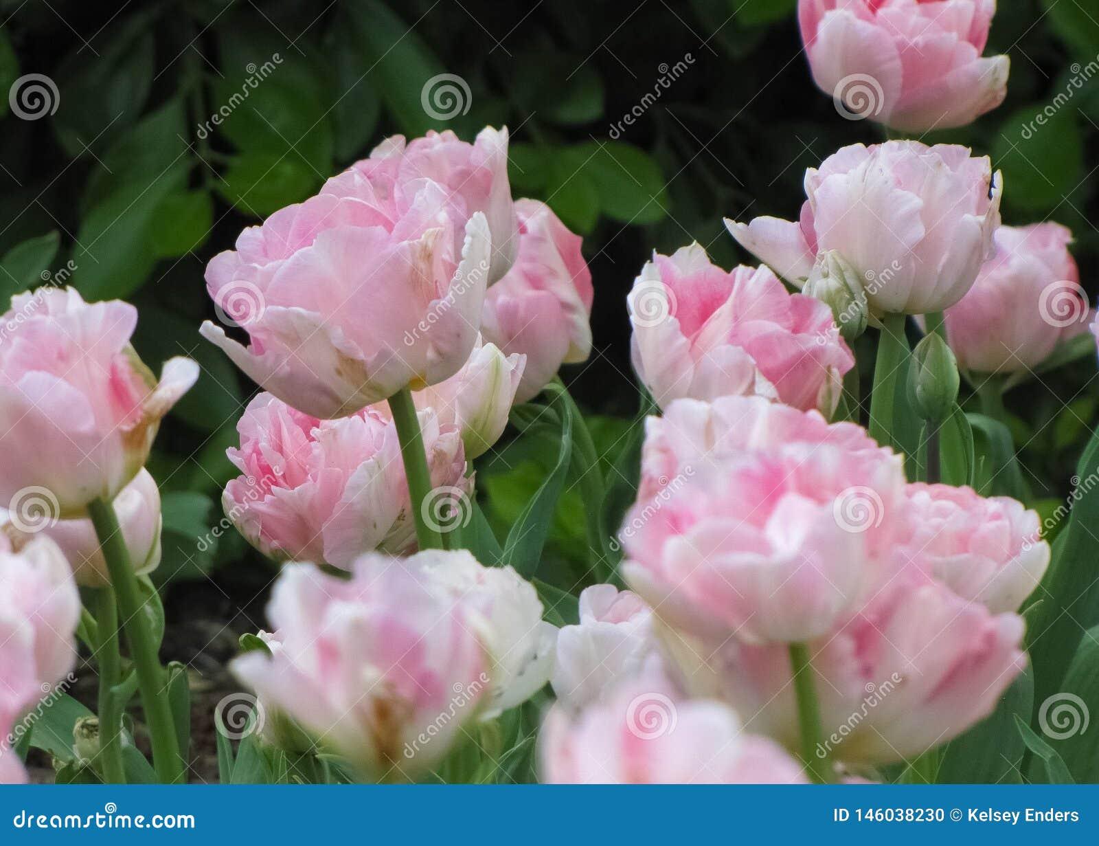 Makro- Różowi i Biali tulipany 2