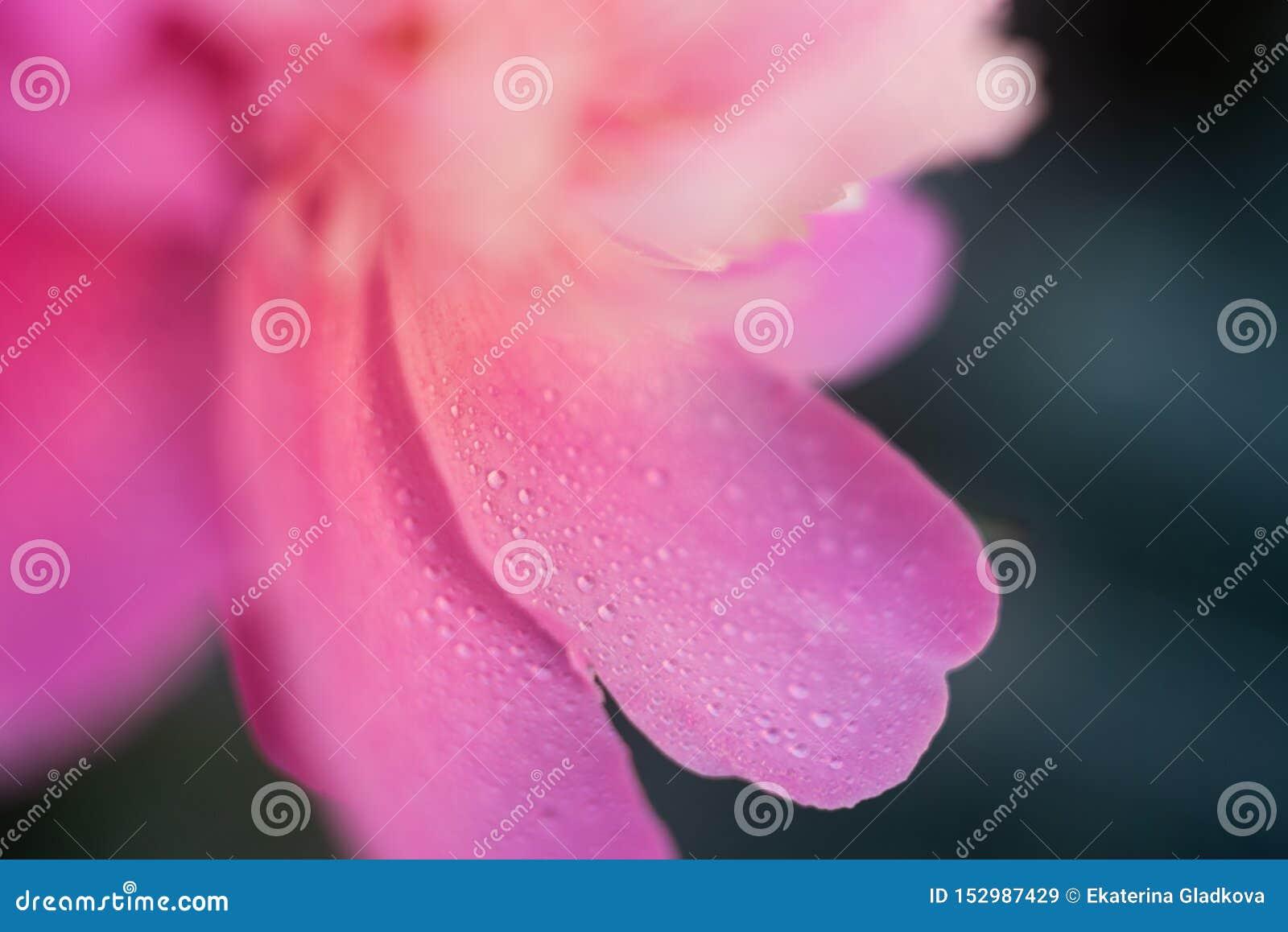 Makro- różowi peonia płatki z wodą opuszczają na zielonym tle