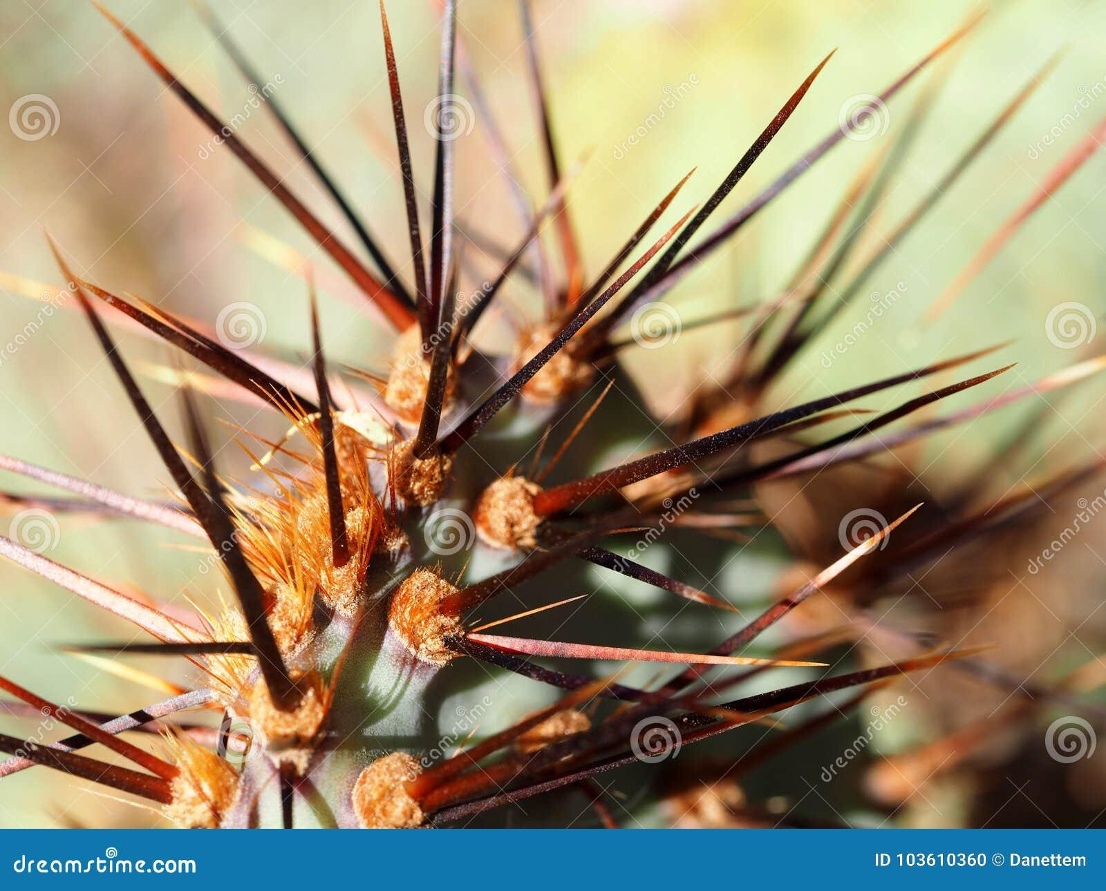 Makro- rewolucjonistka Gwożdżący Kłującej bonkrety kaktus