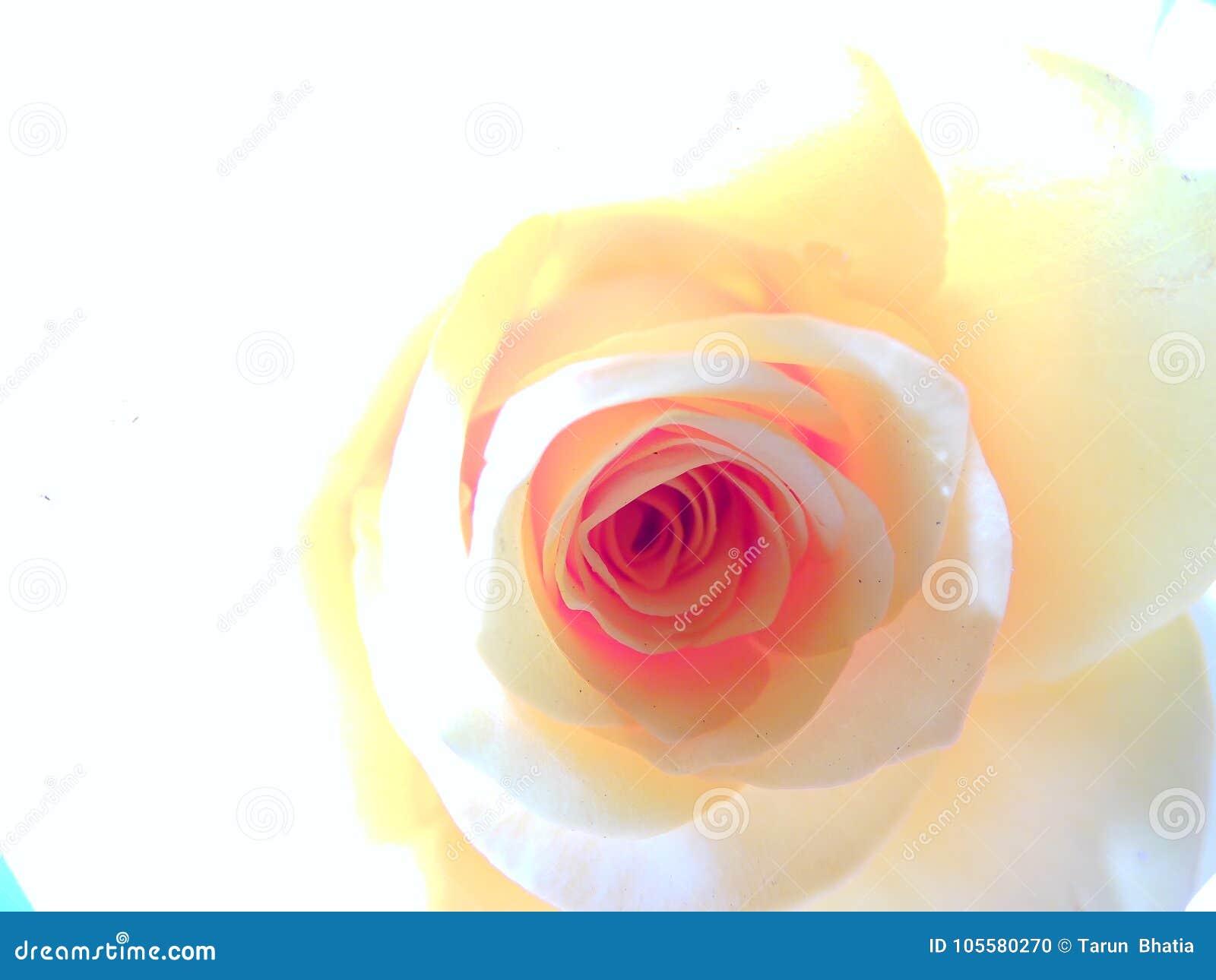 Makro-Rose, hohes Schlüsselporträt, bewegliche Tapete