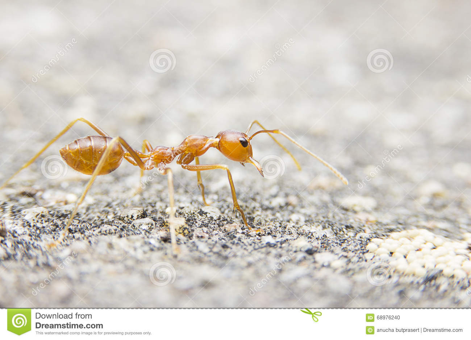 Makro rote Ameise der Nahaufnahme auf Steinhintergrund