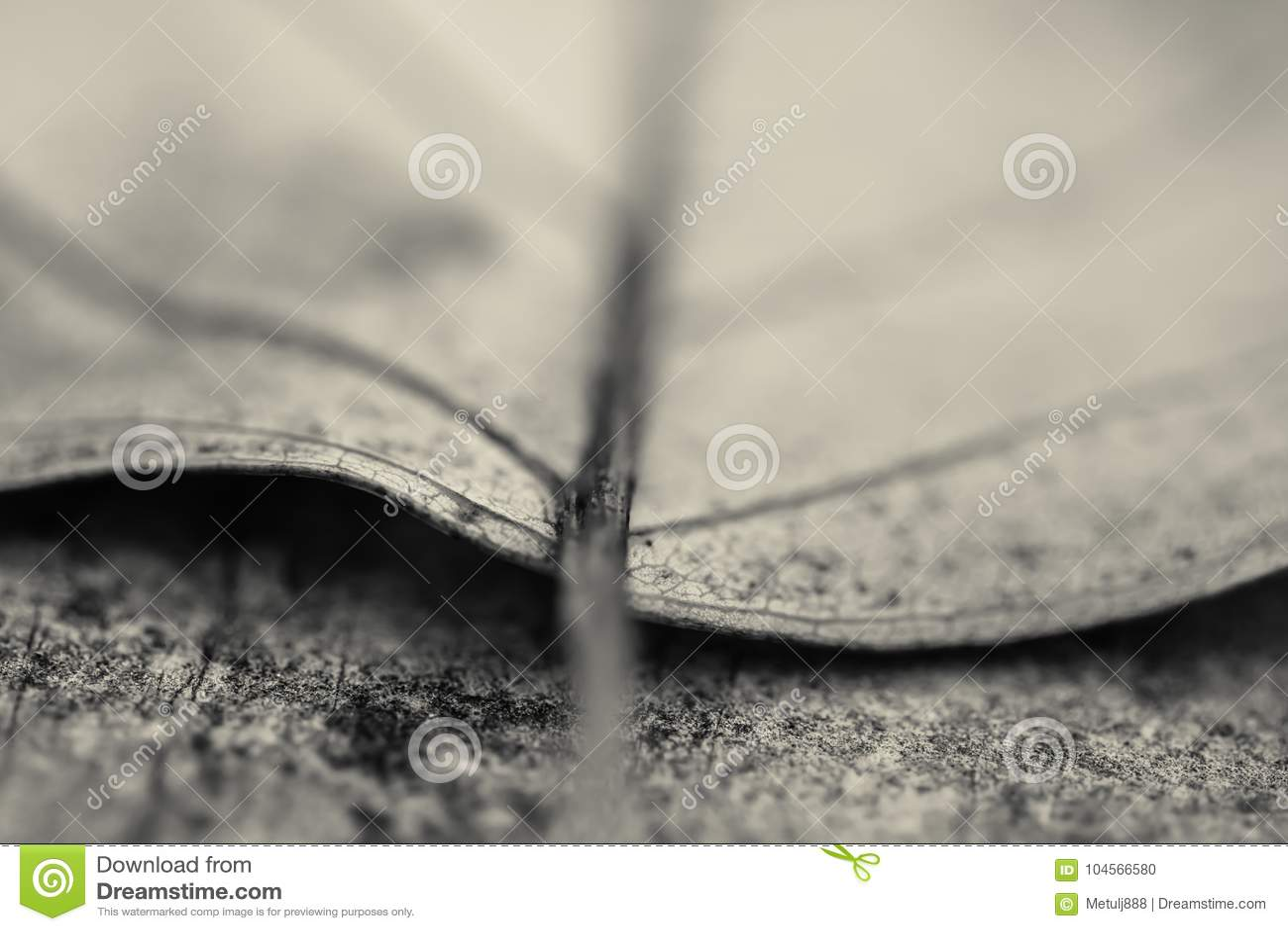 Makro som är nära upp av det döda bladet för detalj som ligger på golvet i svartvitt