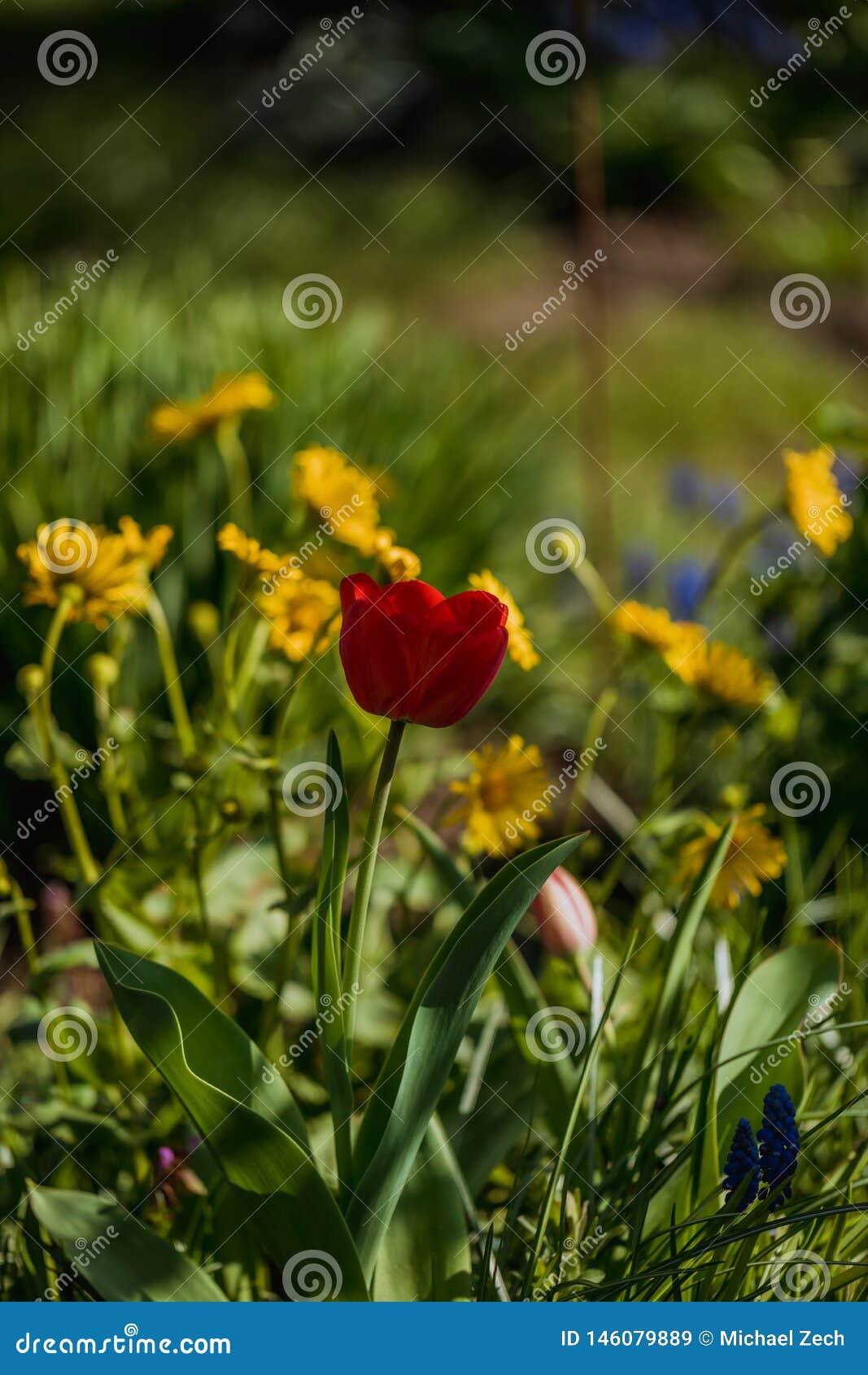 Makro som skjutas av den röda tulpanblomman i en trädgård