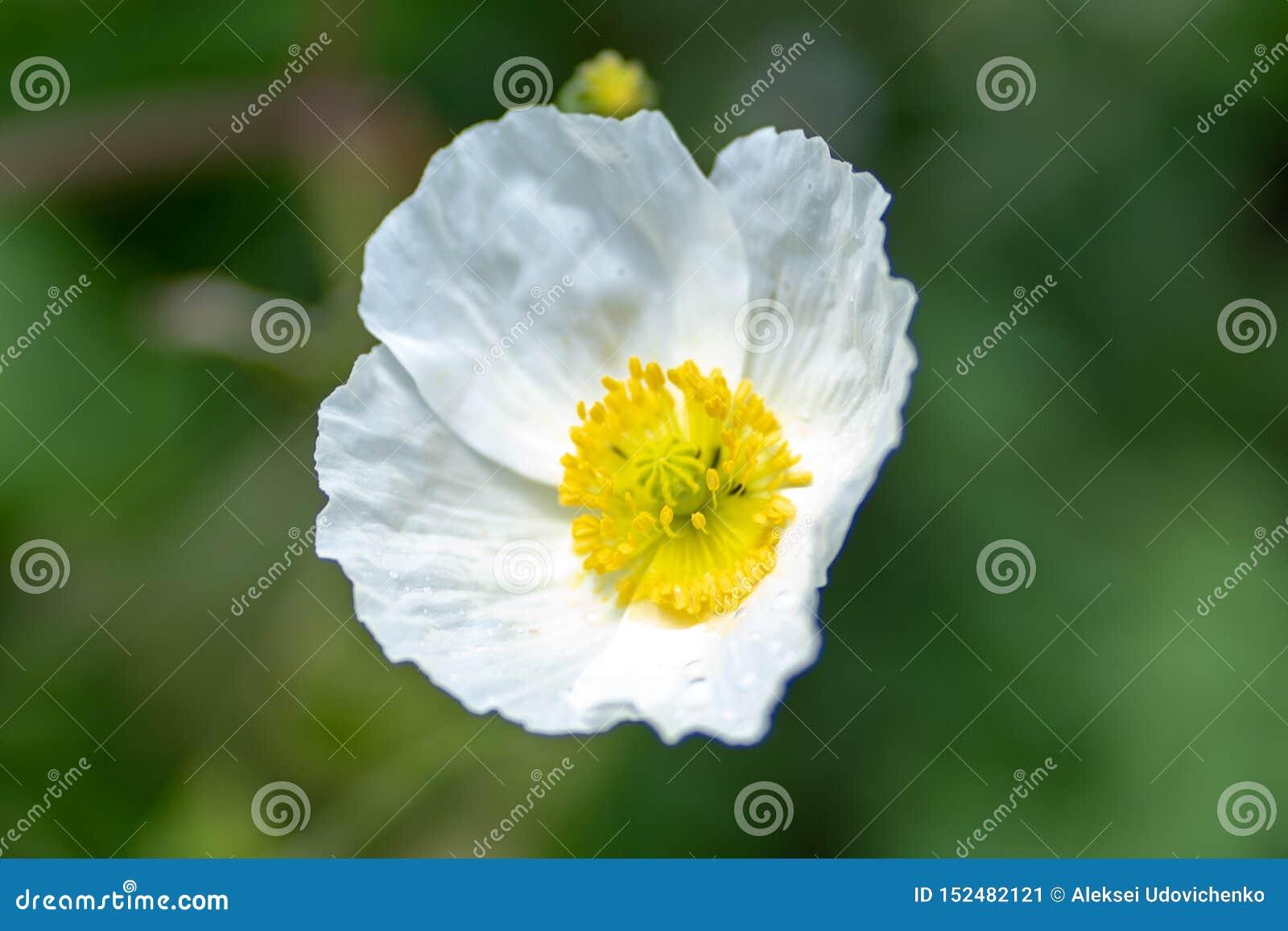 Makro som skjutas av en vit blomma på en naturlig bakgrund i en mjuk fokus
