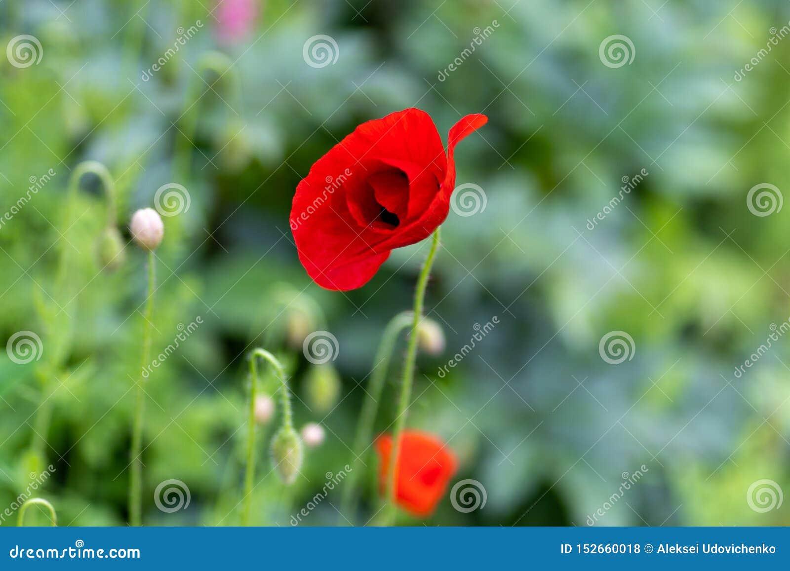Makro som skjutas av röda blommor mot bakgrunden av gräs i mjuk fokus