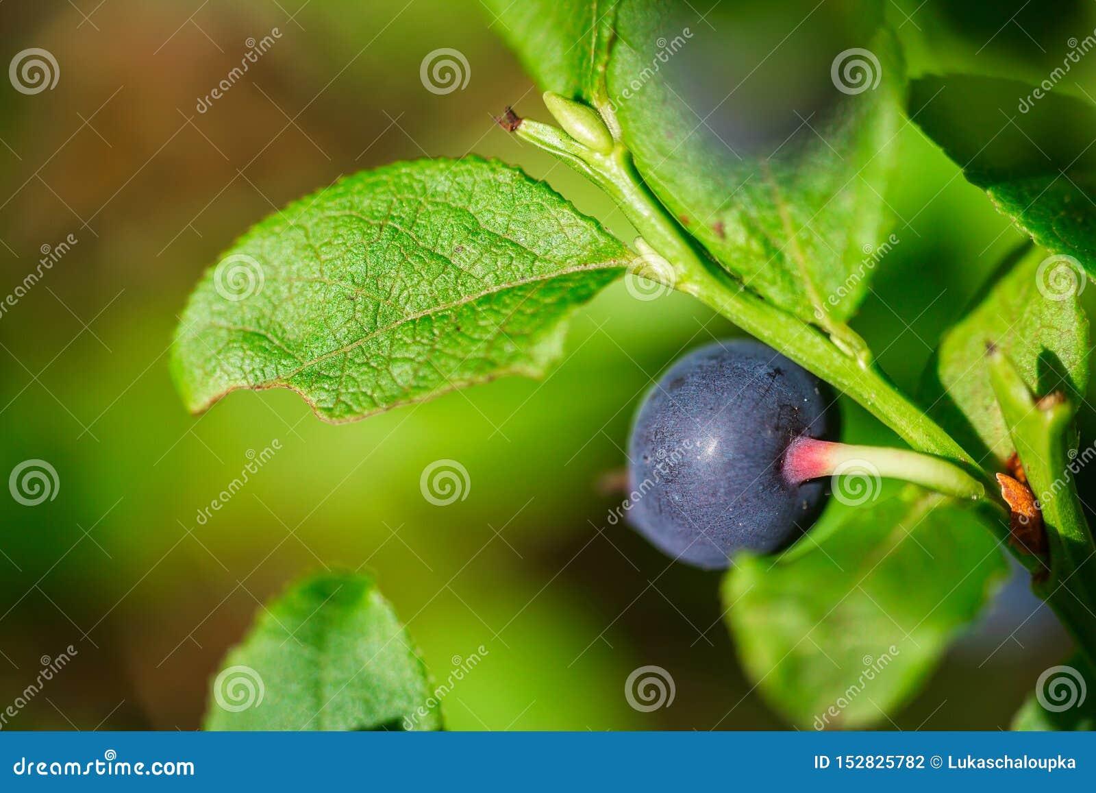 Makro- strzał ładna dojrzała czarna jagoda w lesie