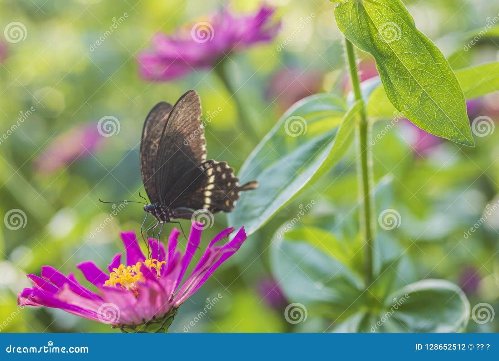 Makro- strzał, czarny motyl na małym czerwonym kwiacie
