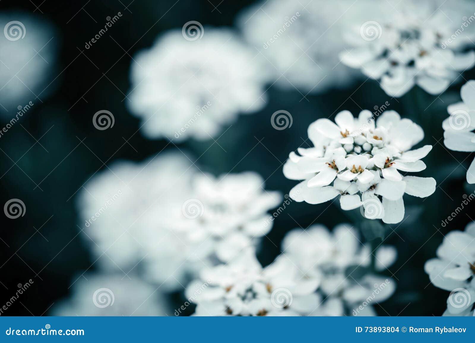 Makro- strzał iberis kwiat