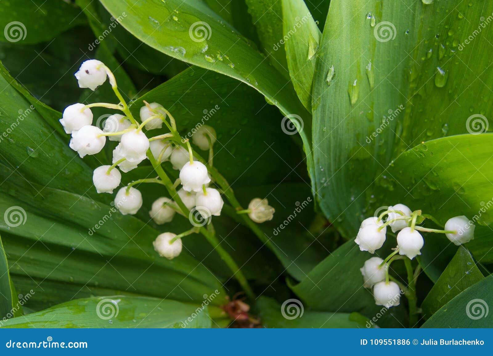 Makro- strzał lilly dolina - czuła wiosna kwitnie
