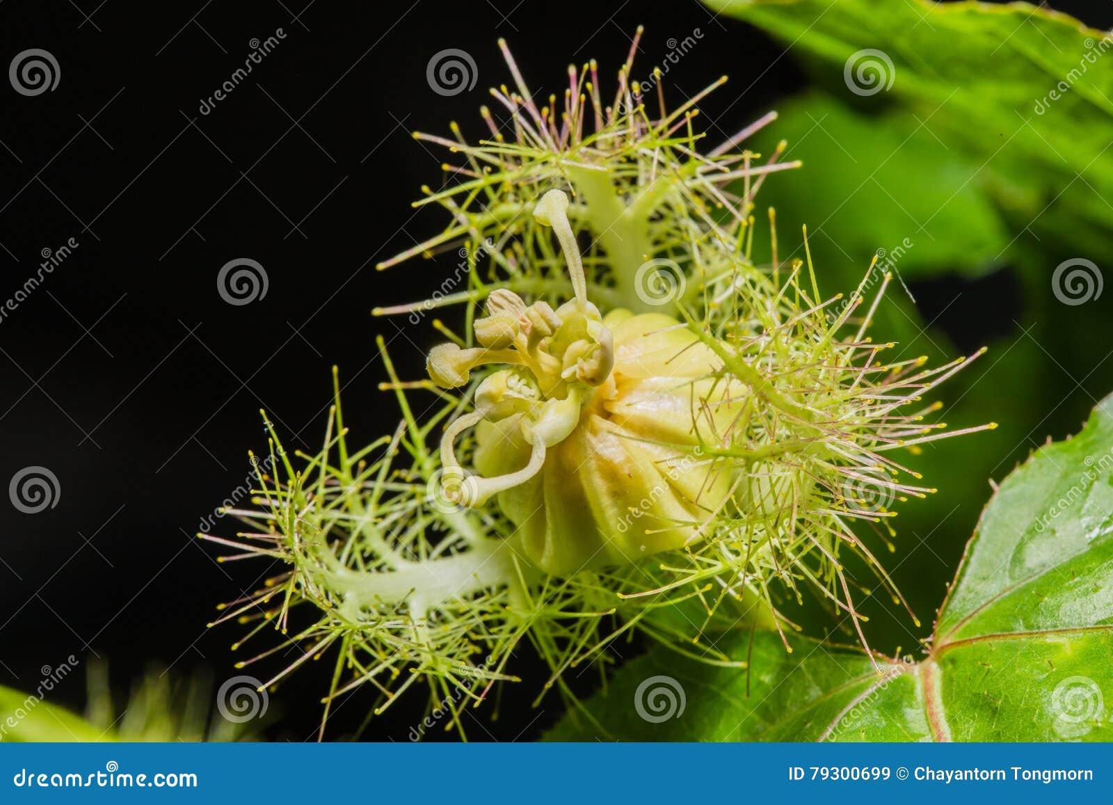 Makro- strzał Passiflora foetida, Cuchnący passionflower
