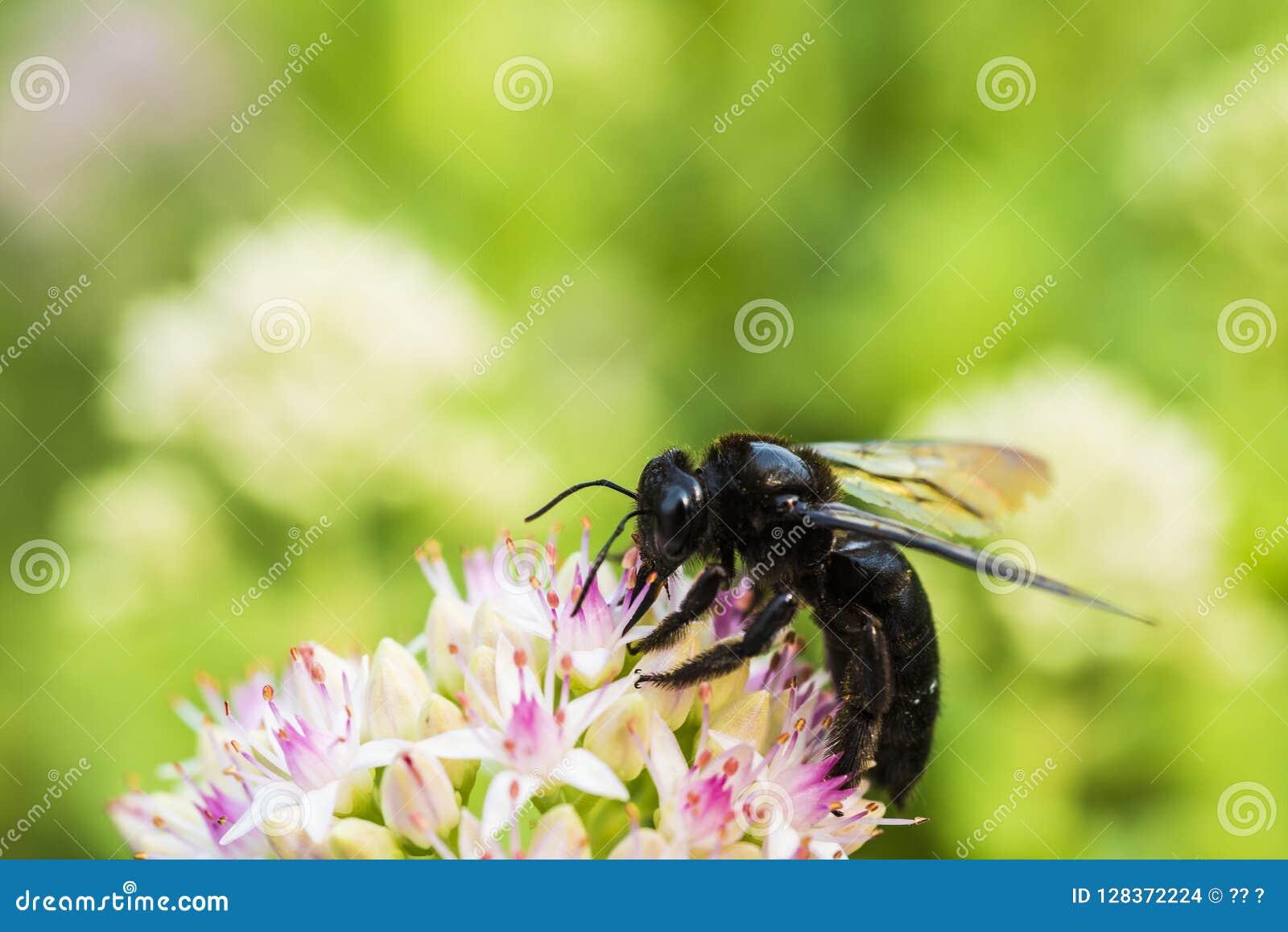 Makro- strzał pszczoła z białymi kwiatami z czerwonawymi kropkami