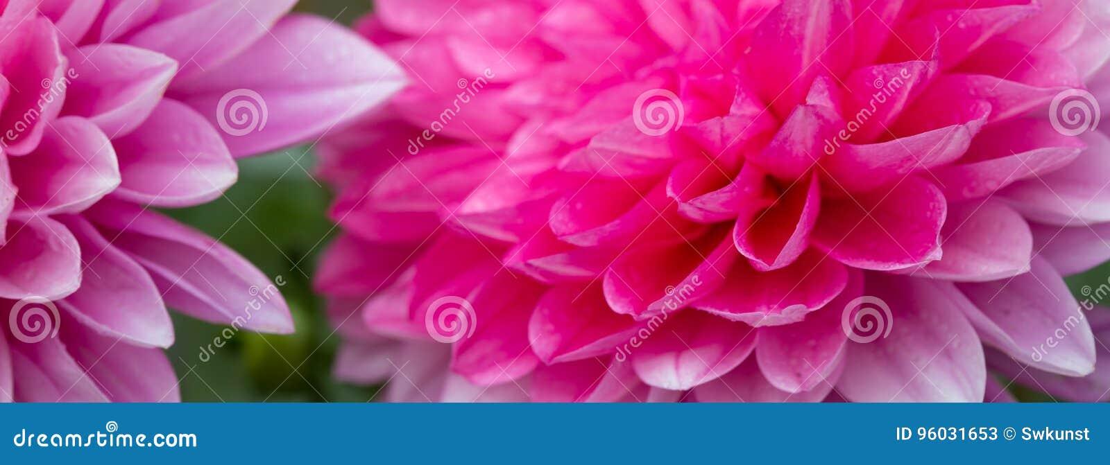 Makro- strzał różowa dalia