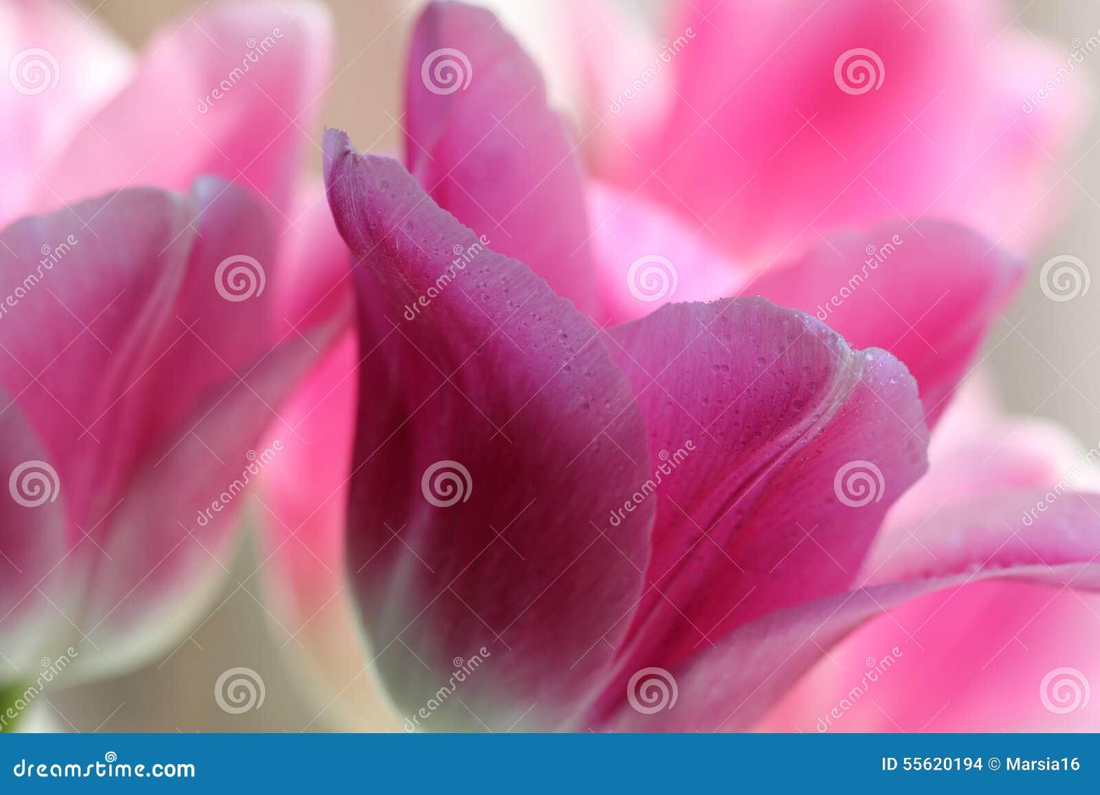 Makro von Tulip Flowers