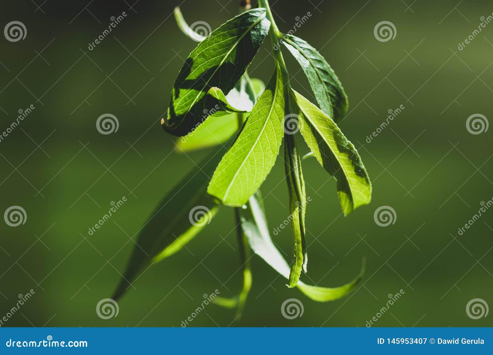 Makro von Weidenblättern während des Frühlinges hob durch die Sonne im Mittag, mit starkem grünem bokeh im Hintergrund hervor