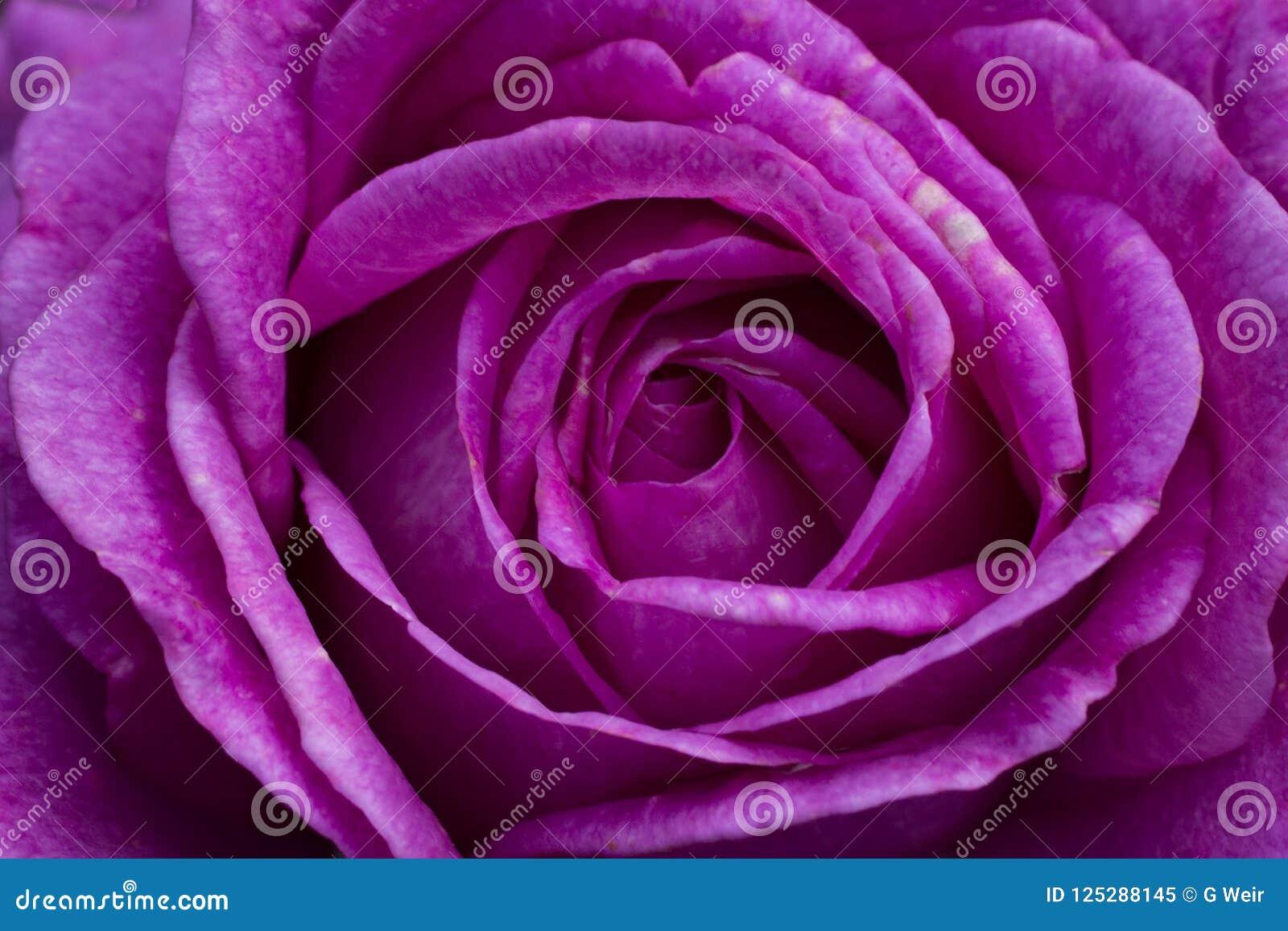 Makro- zakończenie up wibrująca purpury róża