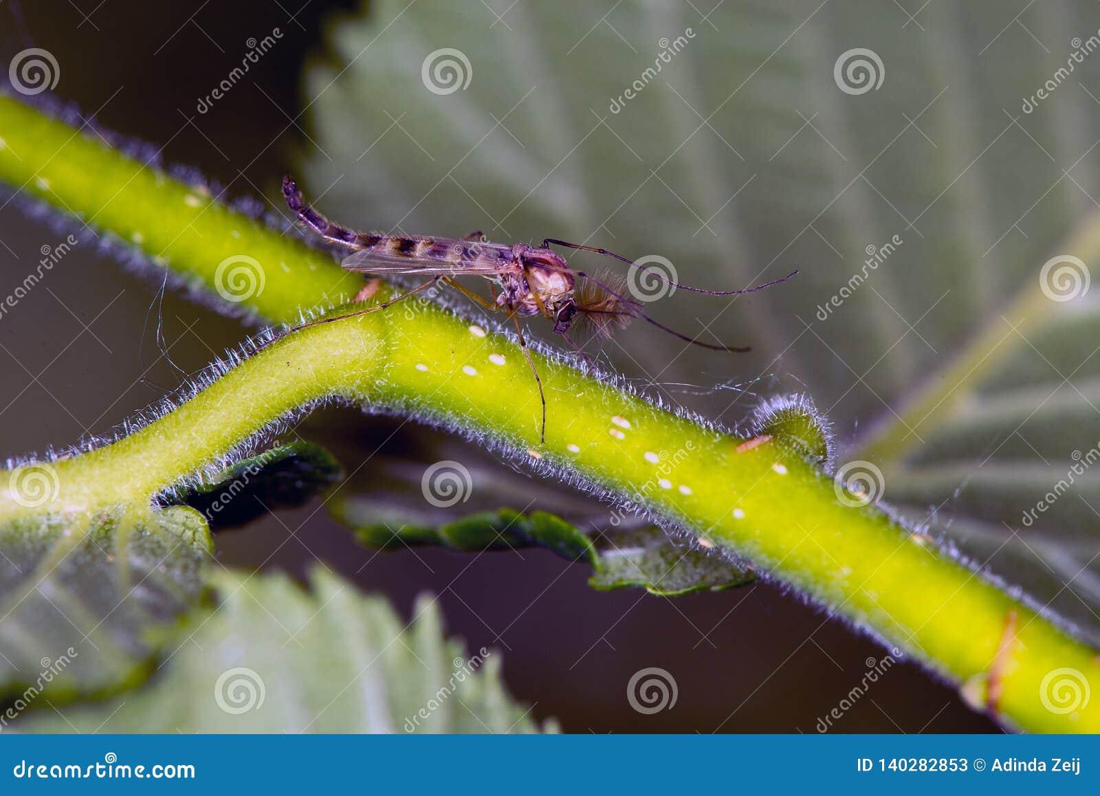 Makrobild av myggor som sitter på en växt