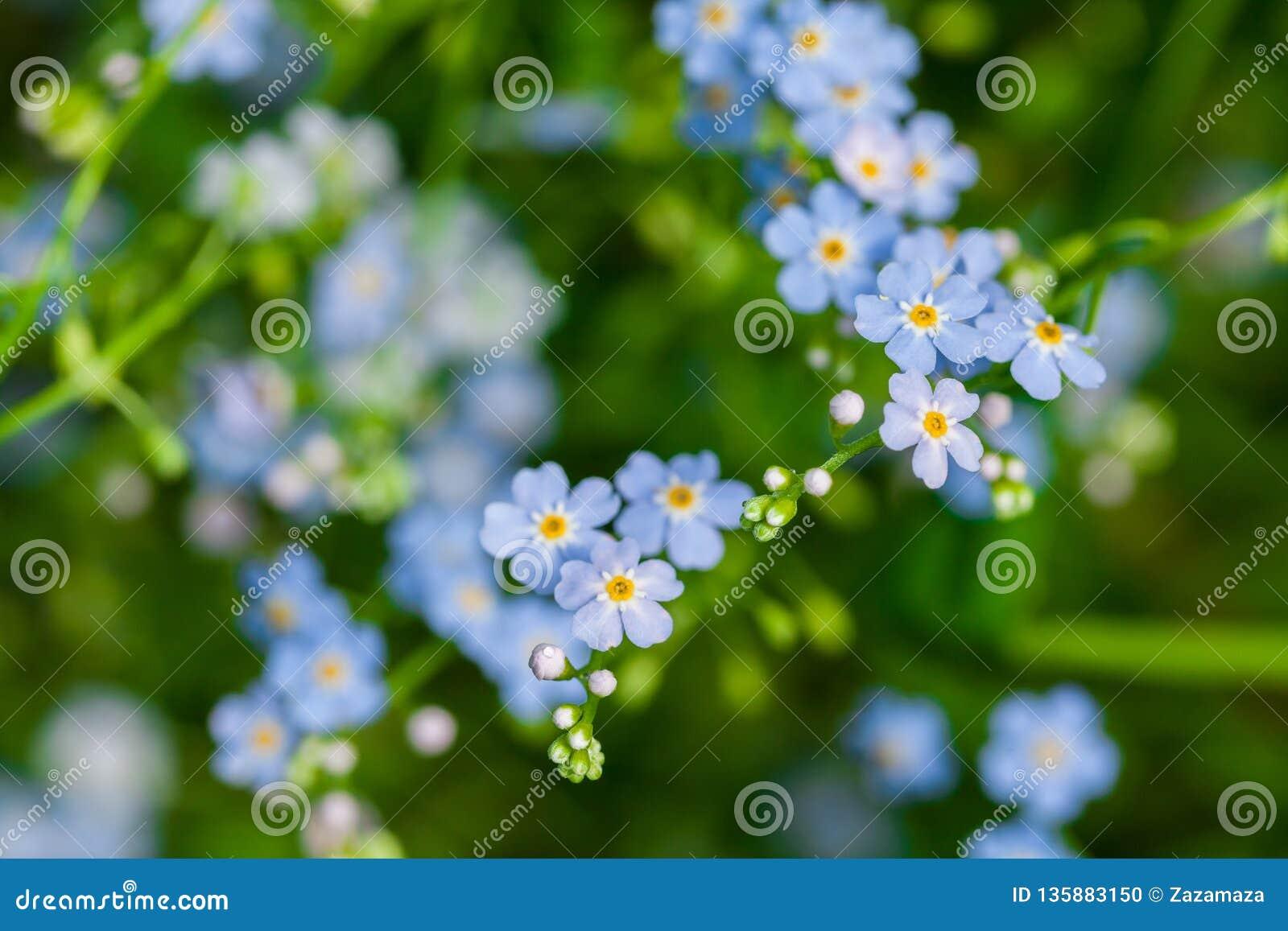Makroen av mycket små blått blommar förgätmigej och färgrik gräsbakgrund i natur close upp