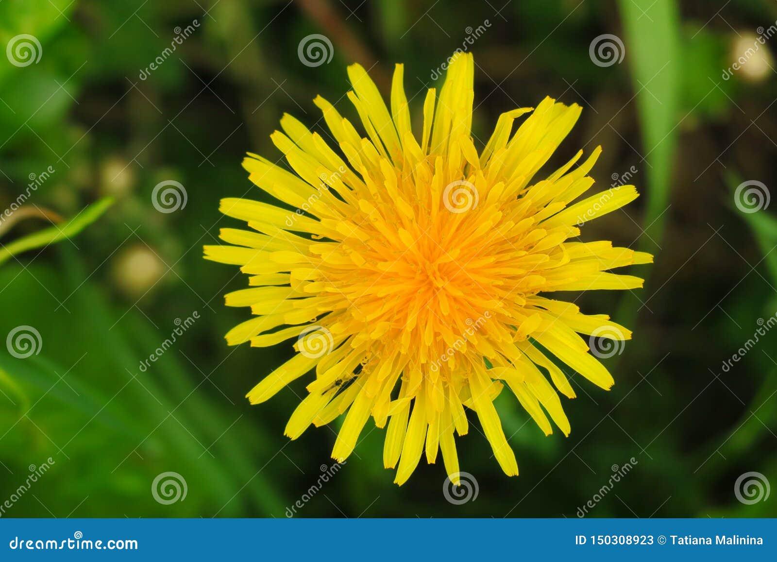 Makrofoto av en maskrosväxt Maskrosväxt med en fluffig gul knopp Gult växa för maskrosblomma i jordningen