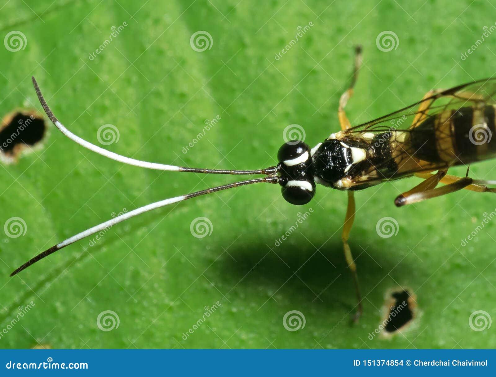 Makrofoto av ichneumonen Wasp med svartvita Antennae p? det gr?na bladet