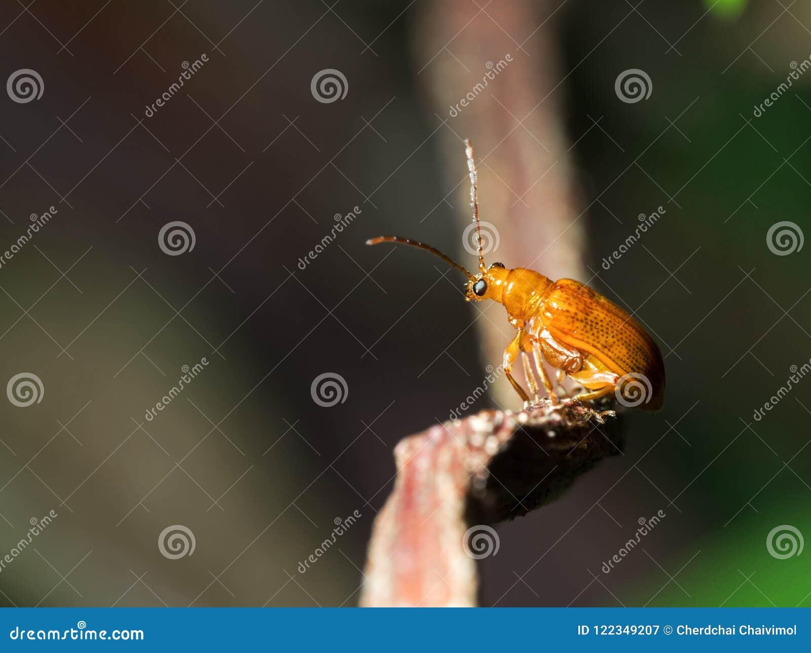 Makrofoto des netten orange Käfers, der auf hölzernem Zweig-Isolat sitzt