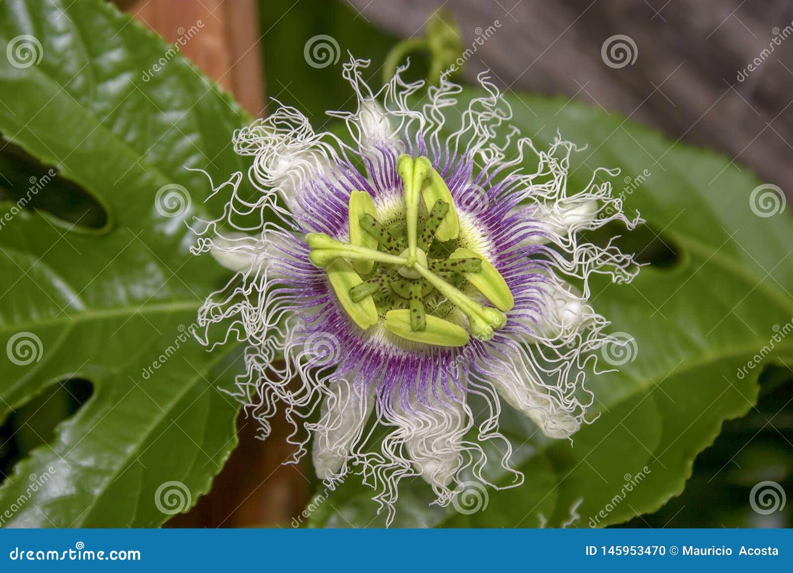 Makrofotografi av en blomma för passionfrukt