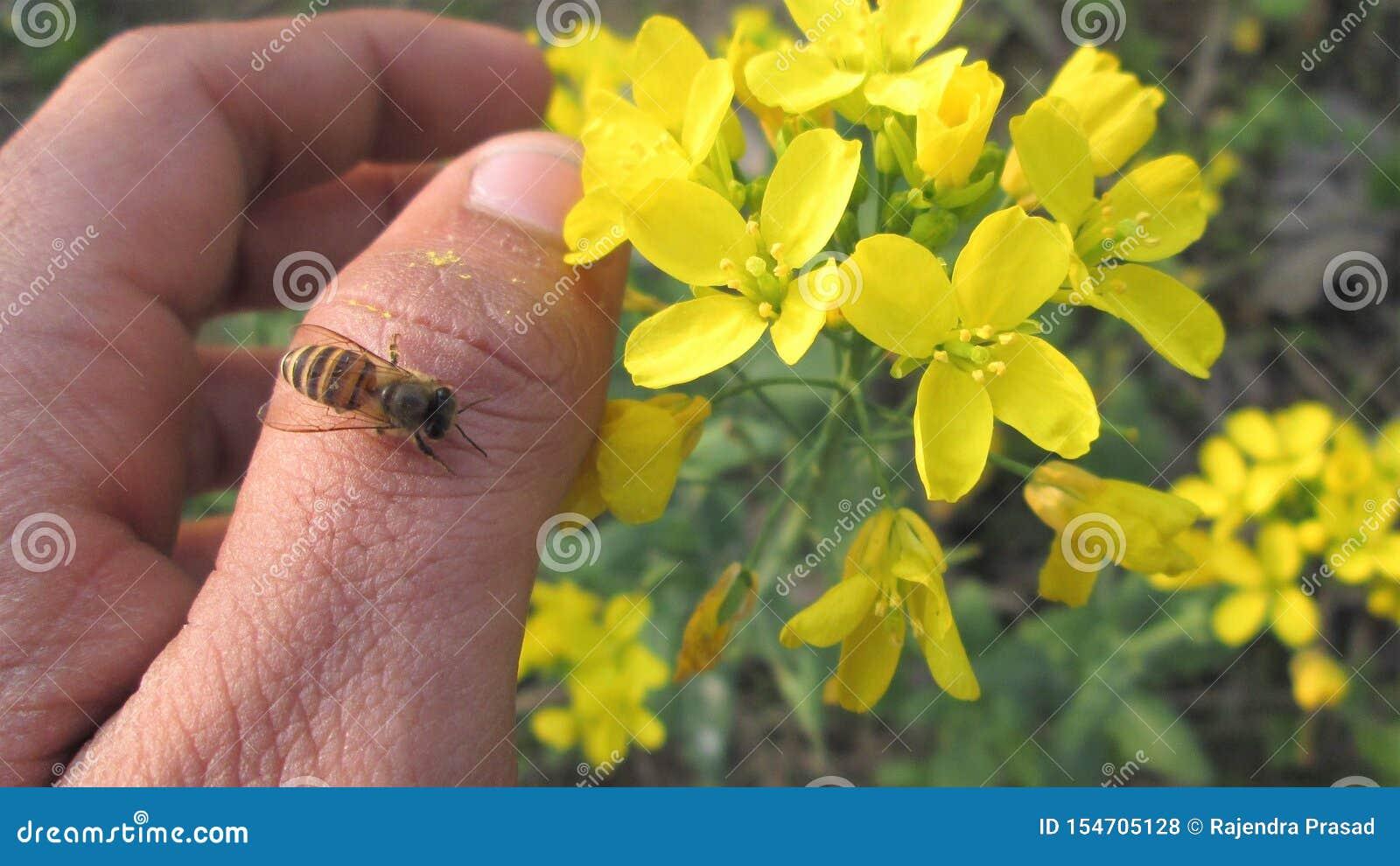 Makrophotographie-, HonigBienenstich, auf Daumen, Blumen, Garten, Sommer oder Frühling an Hand sitzend