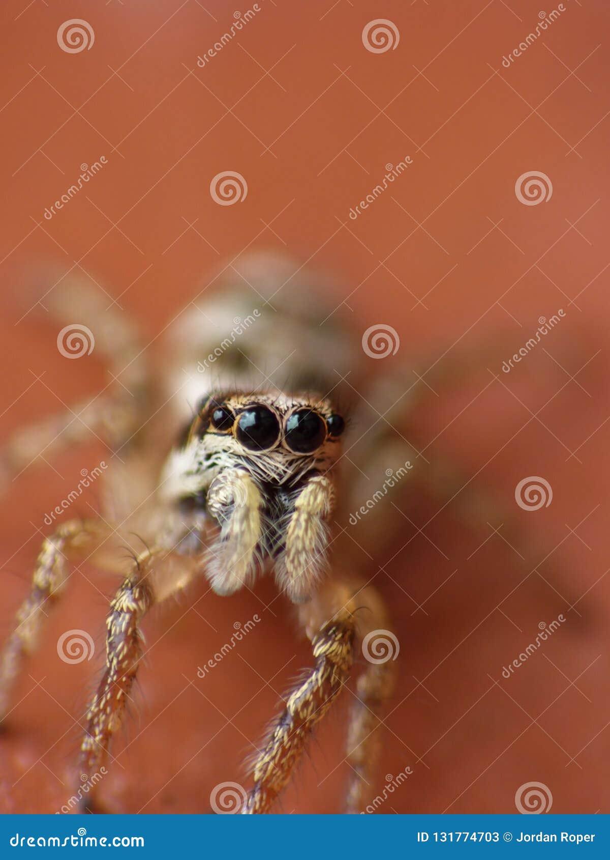 Makrophotographieabschluß oben einer springenden Spinne, Foto eingelassen Großbritannien