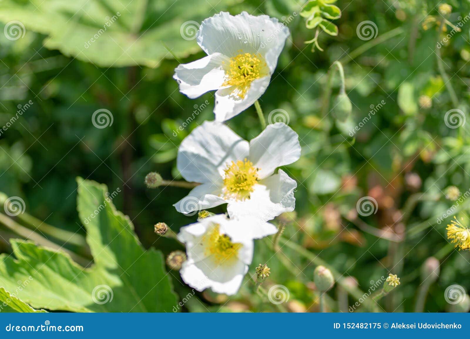 Makroschuß einer weißen Blume auf einem natürlichen Hintergrund in einer Weichzeichnung