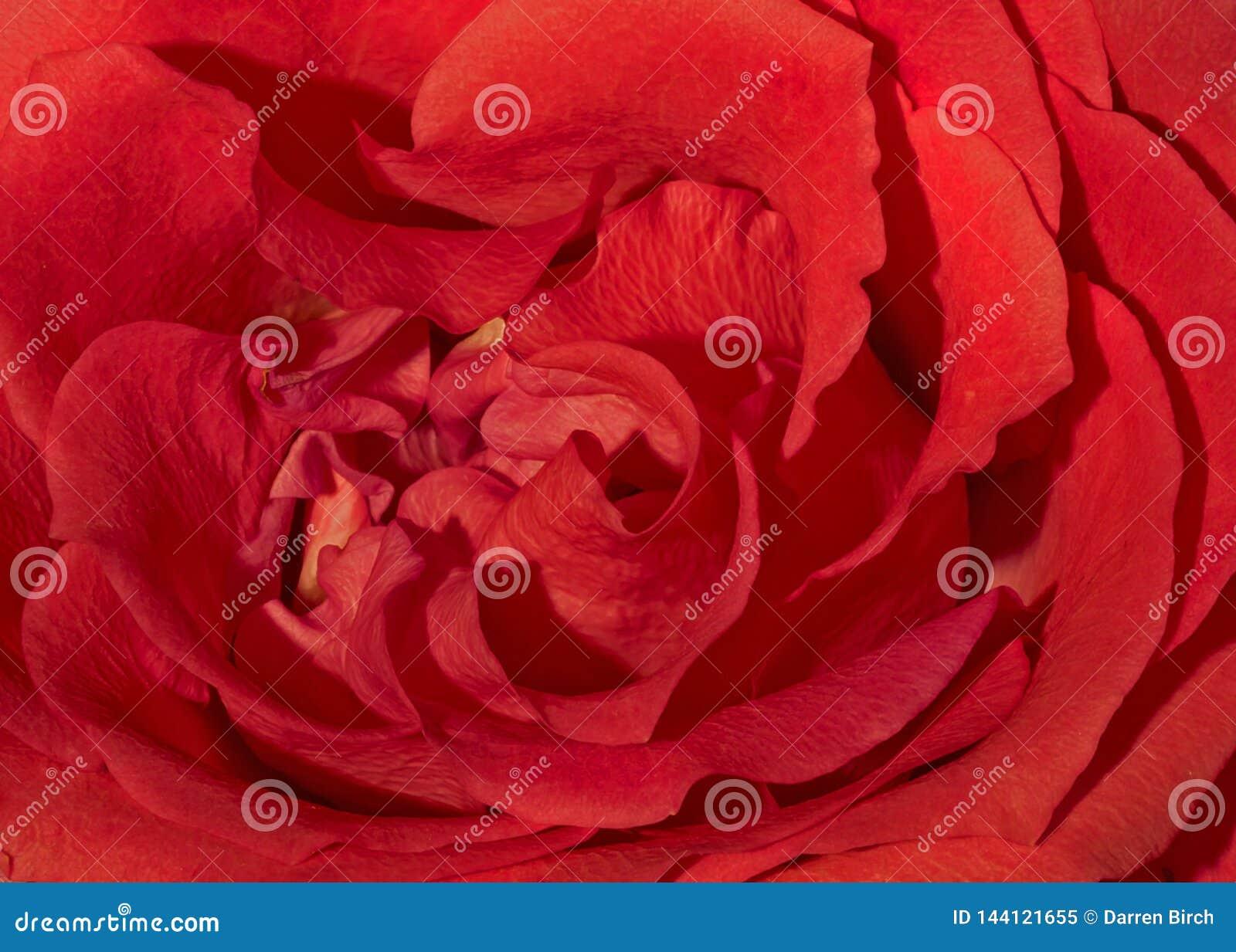 Makroschuß von Blumenblättern einer roten Rose