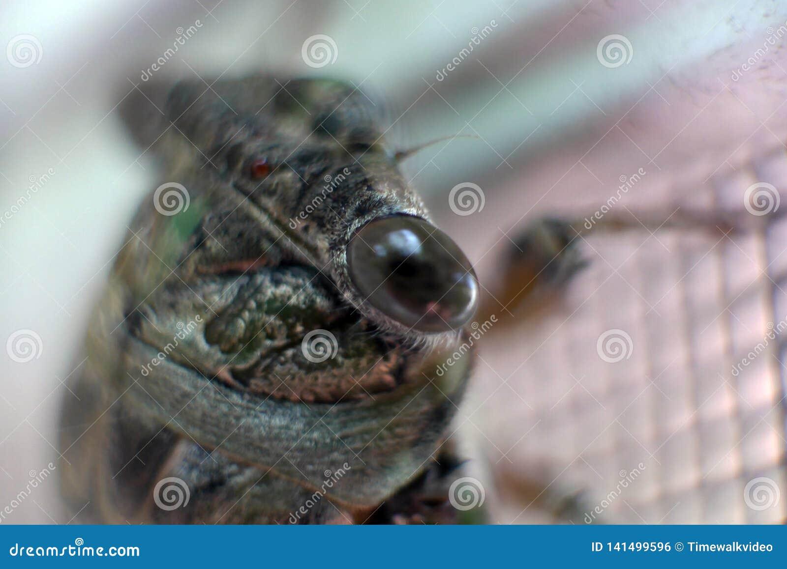 Makrosikt av cikadas öga